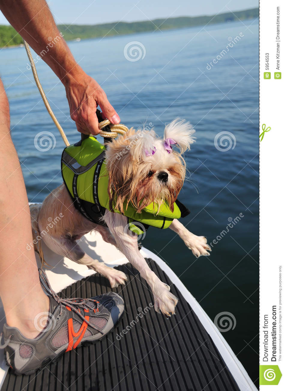Shih Tzu Puppy Rescue Stock Image Image Of Scared Canine 5954553