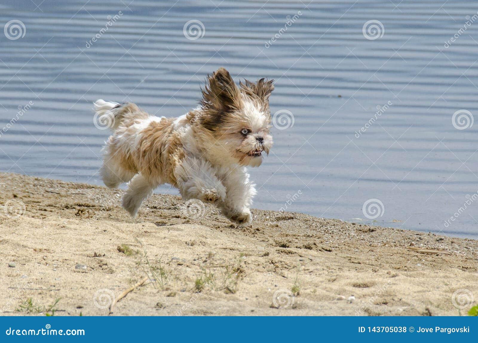Shih Tzu Puppy Running On Beach Stock Photo Image Of Small Beach 143705038