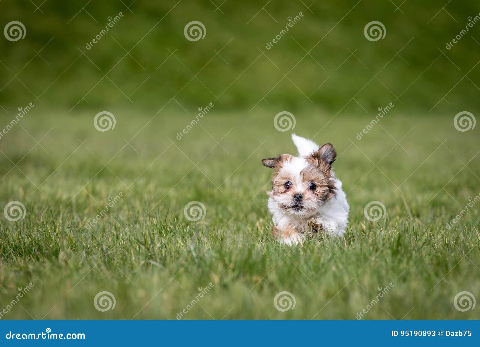 Shih Tzu Puppy Stock Image Image Of Purebred Cute Brown 95190893