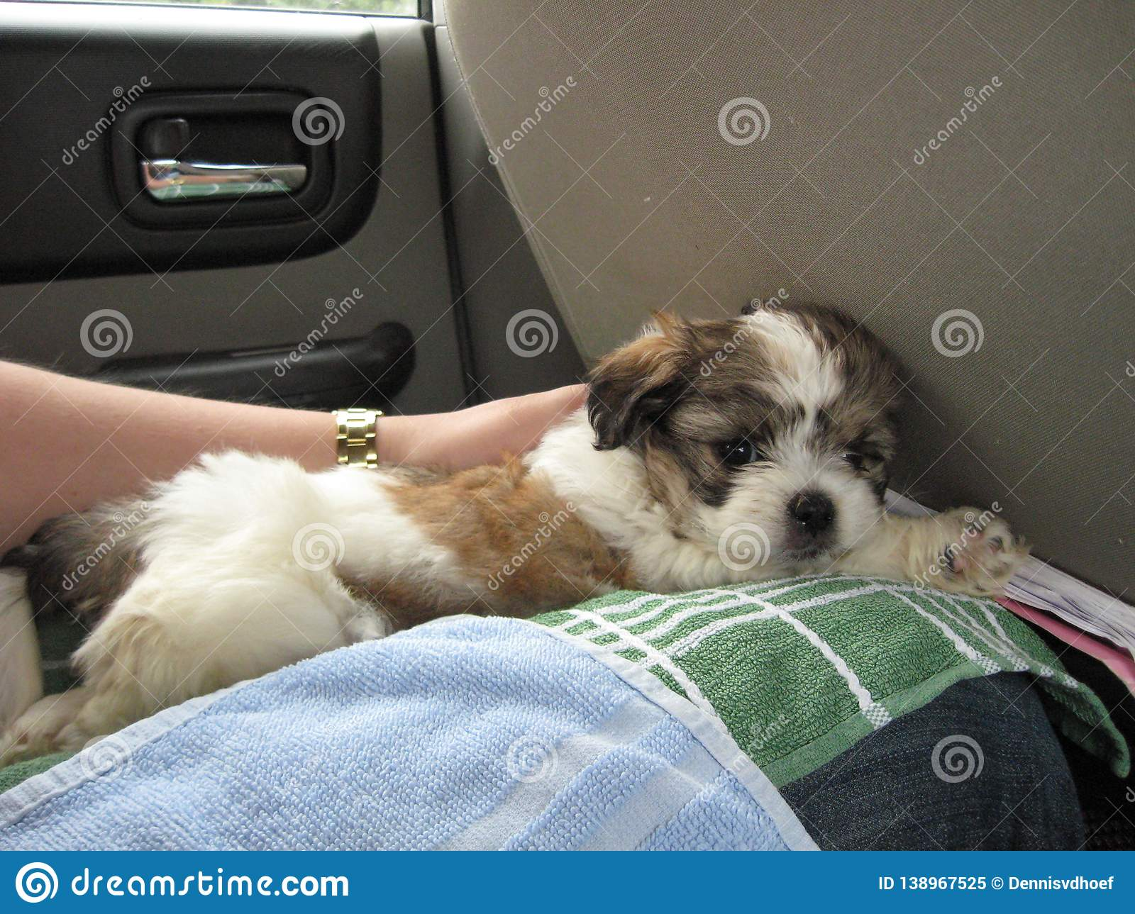 Shih tzu puppy on the way home.