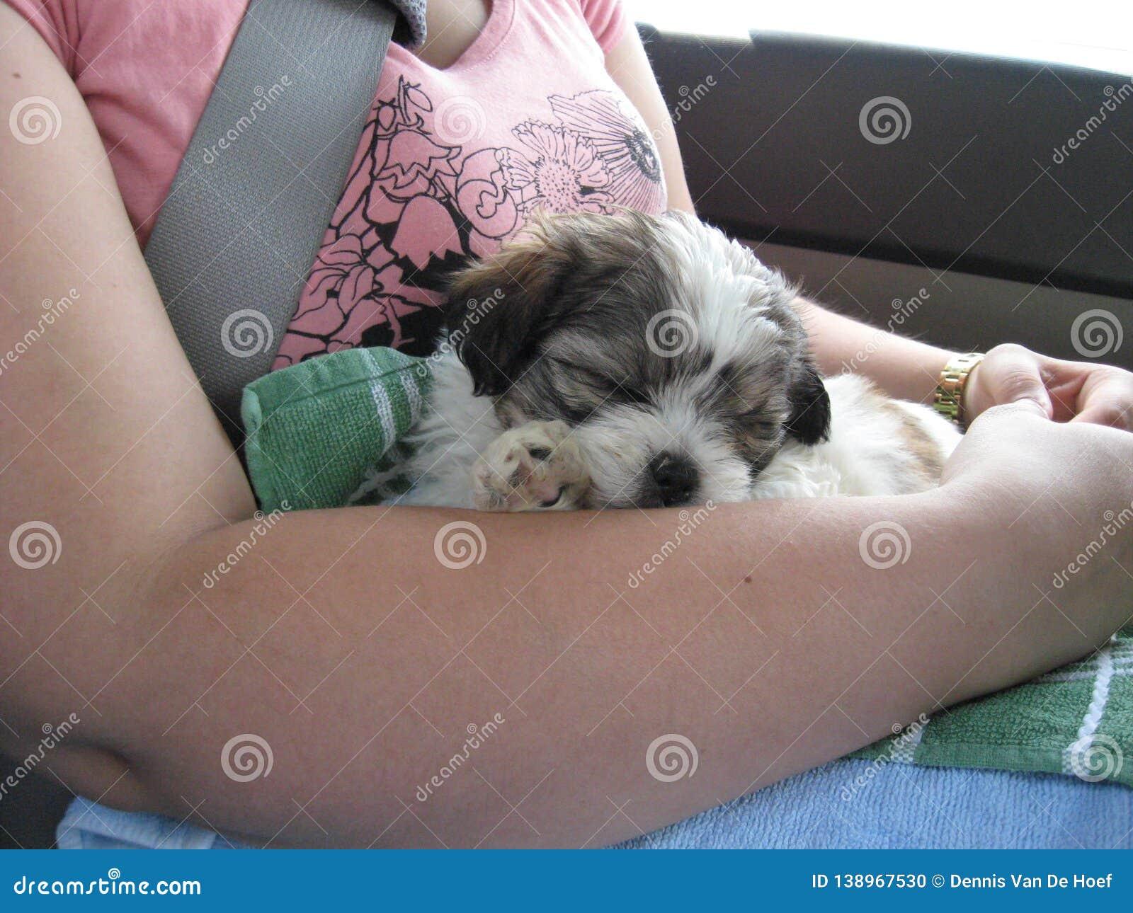 Shih tzu puppy on the way home.