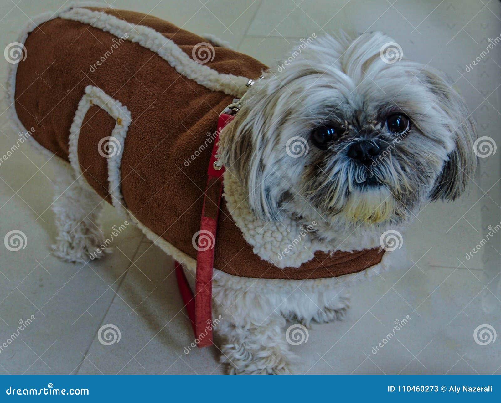 Shih Tzu som är klar för vinter - fårskinnlag