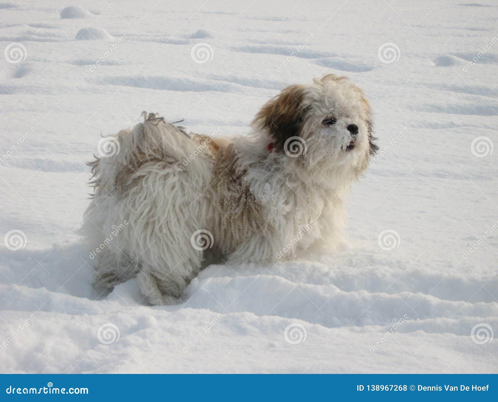 Shih tzu in the snow.