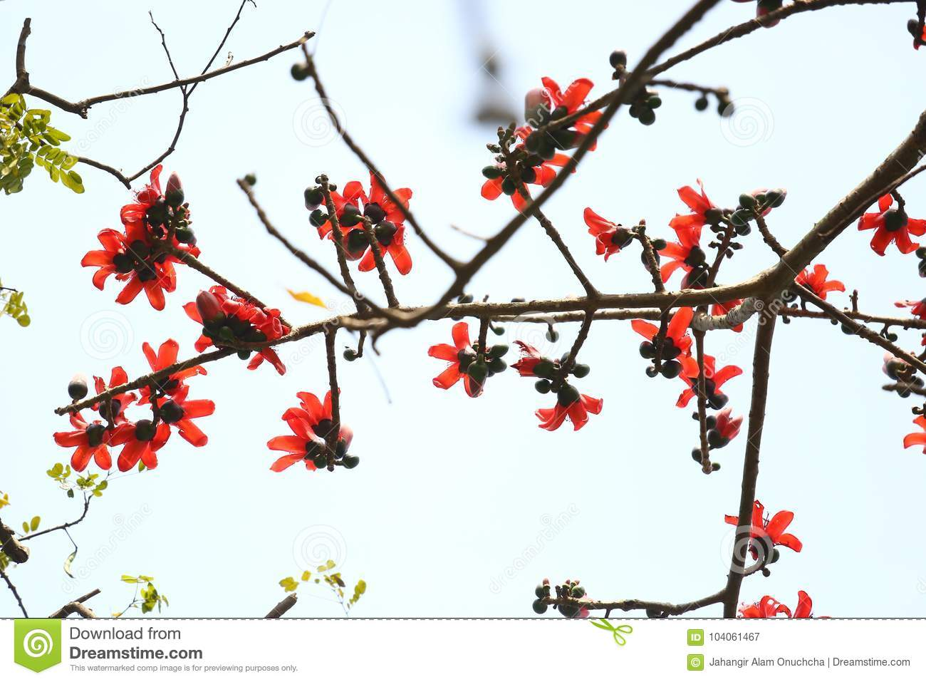 Reddish Shimul Red Silk Cotton Flower Blooming Tree At