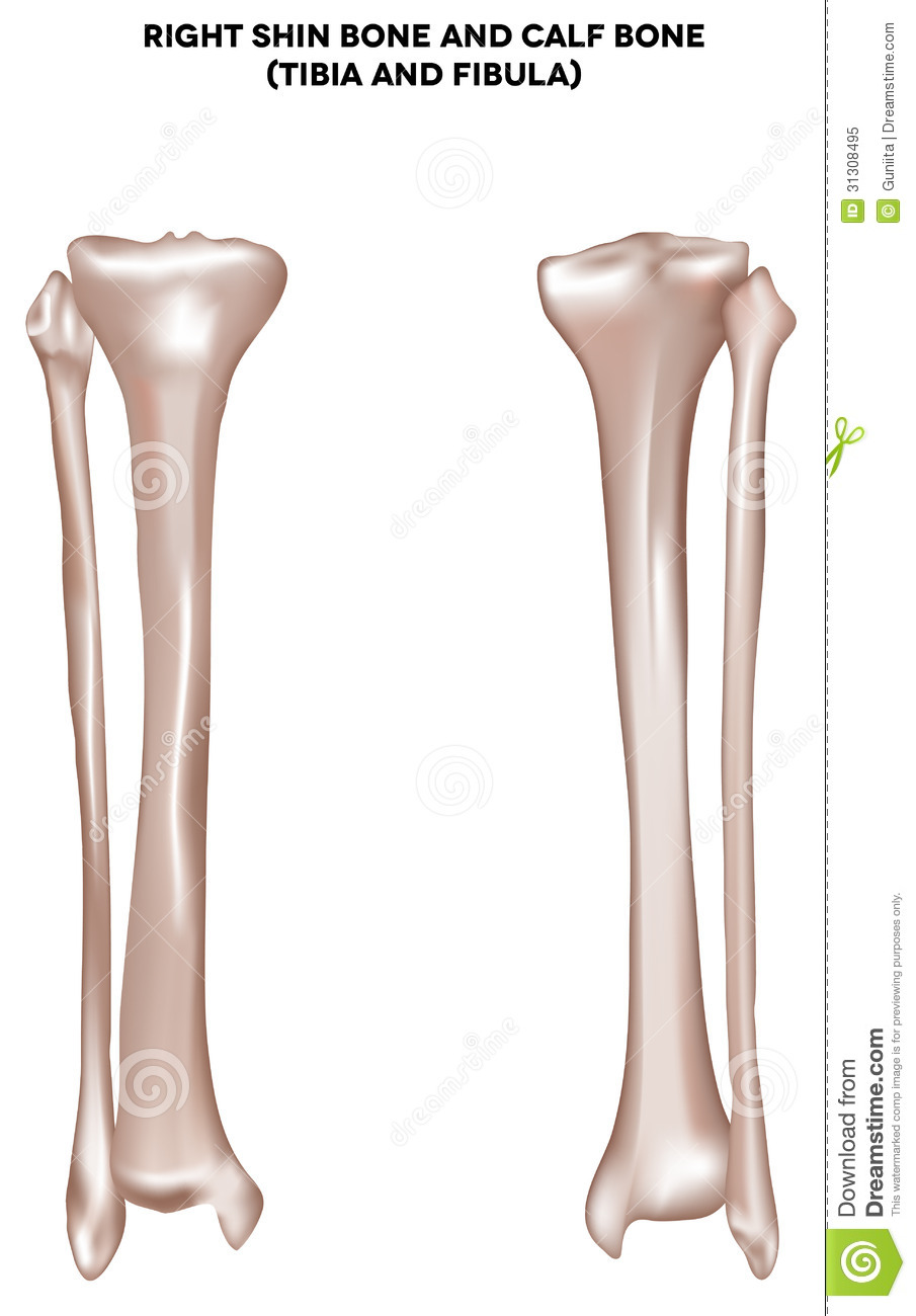 Right shin bone and calf bone tibia and fibula. Bones of the lower