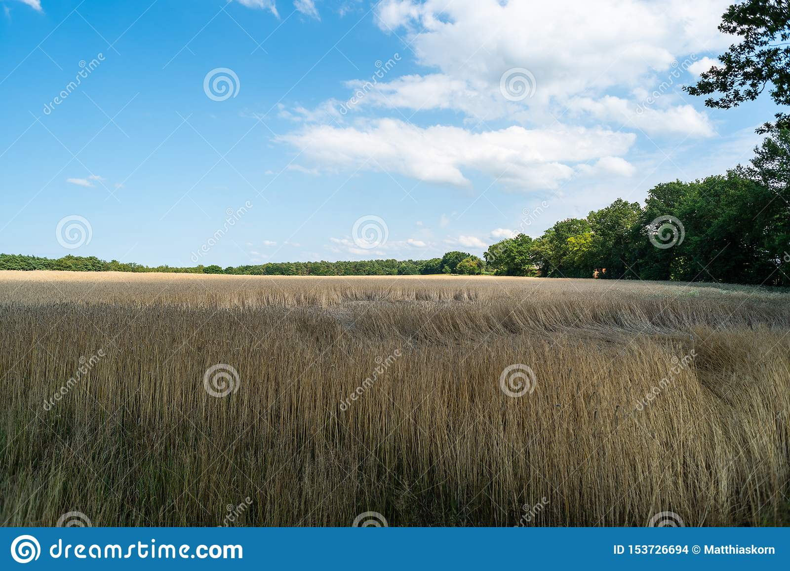 A shining cornfield with blue sky and light clouds