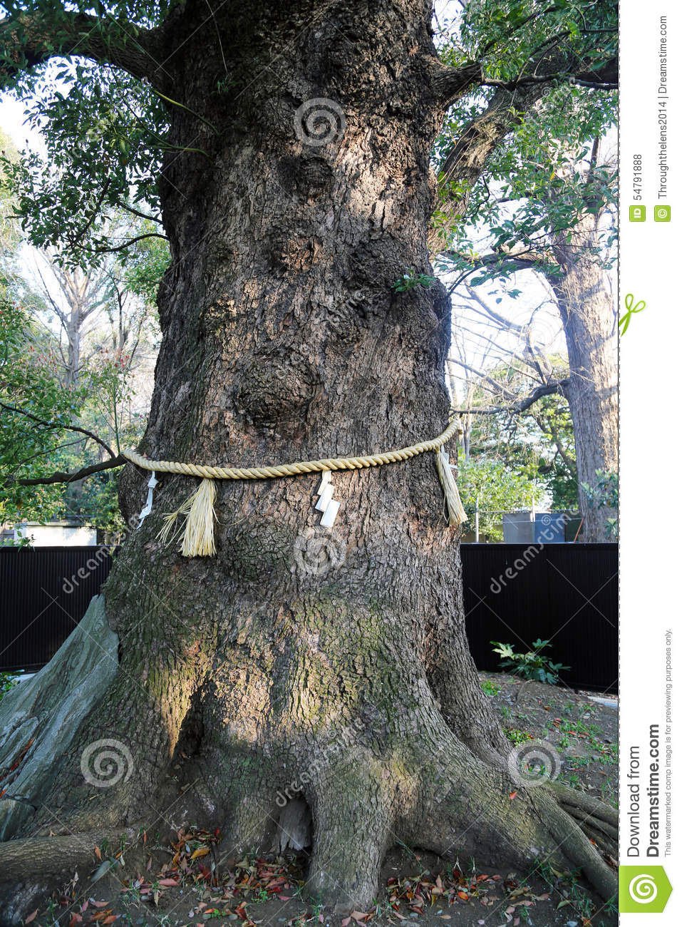 Shinto tree shrine with rope around the tree stock photo for Around the tree