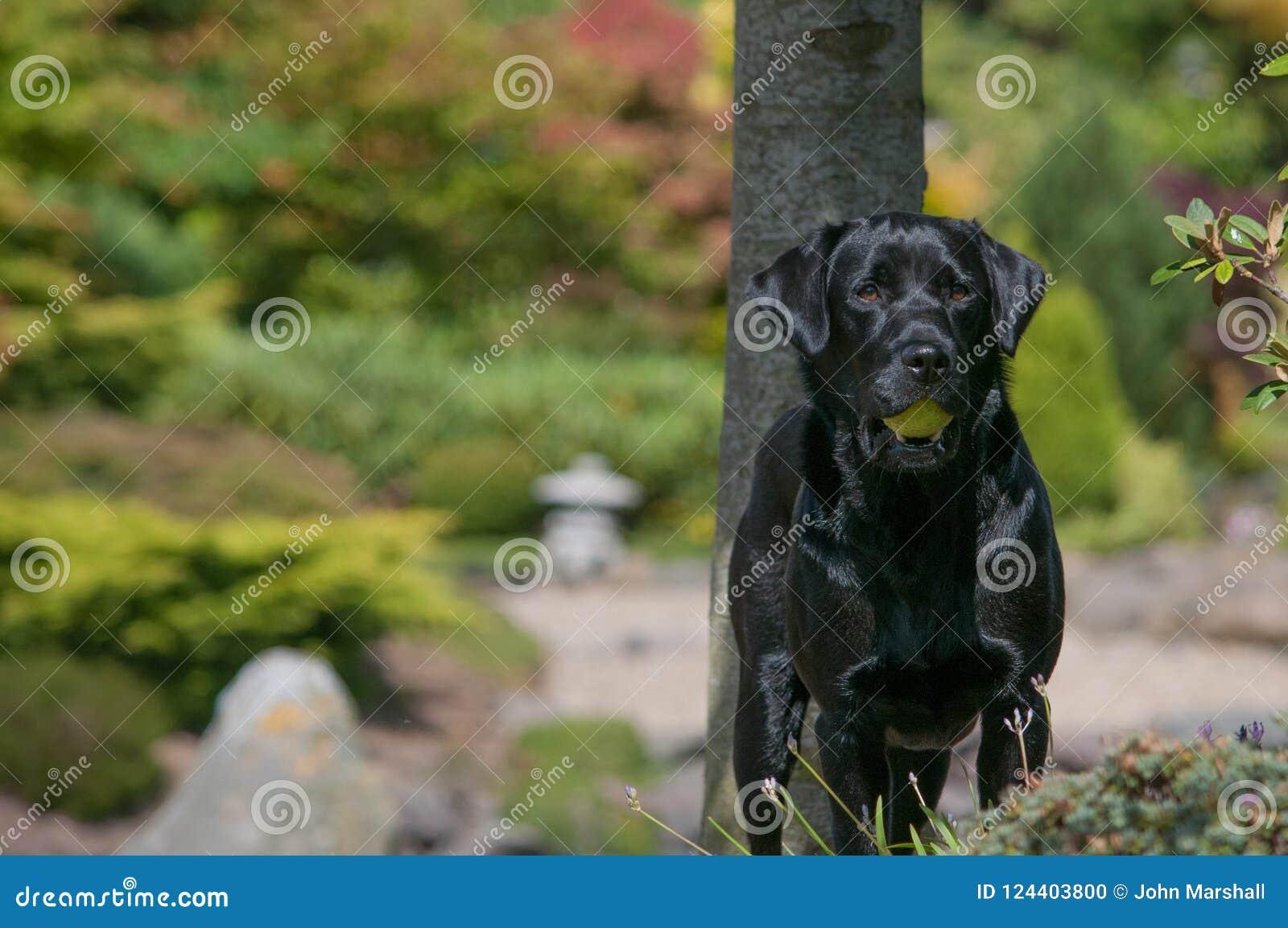 Shiny Black Labrador in Garden With Tennis Ball
