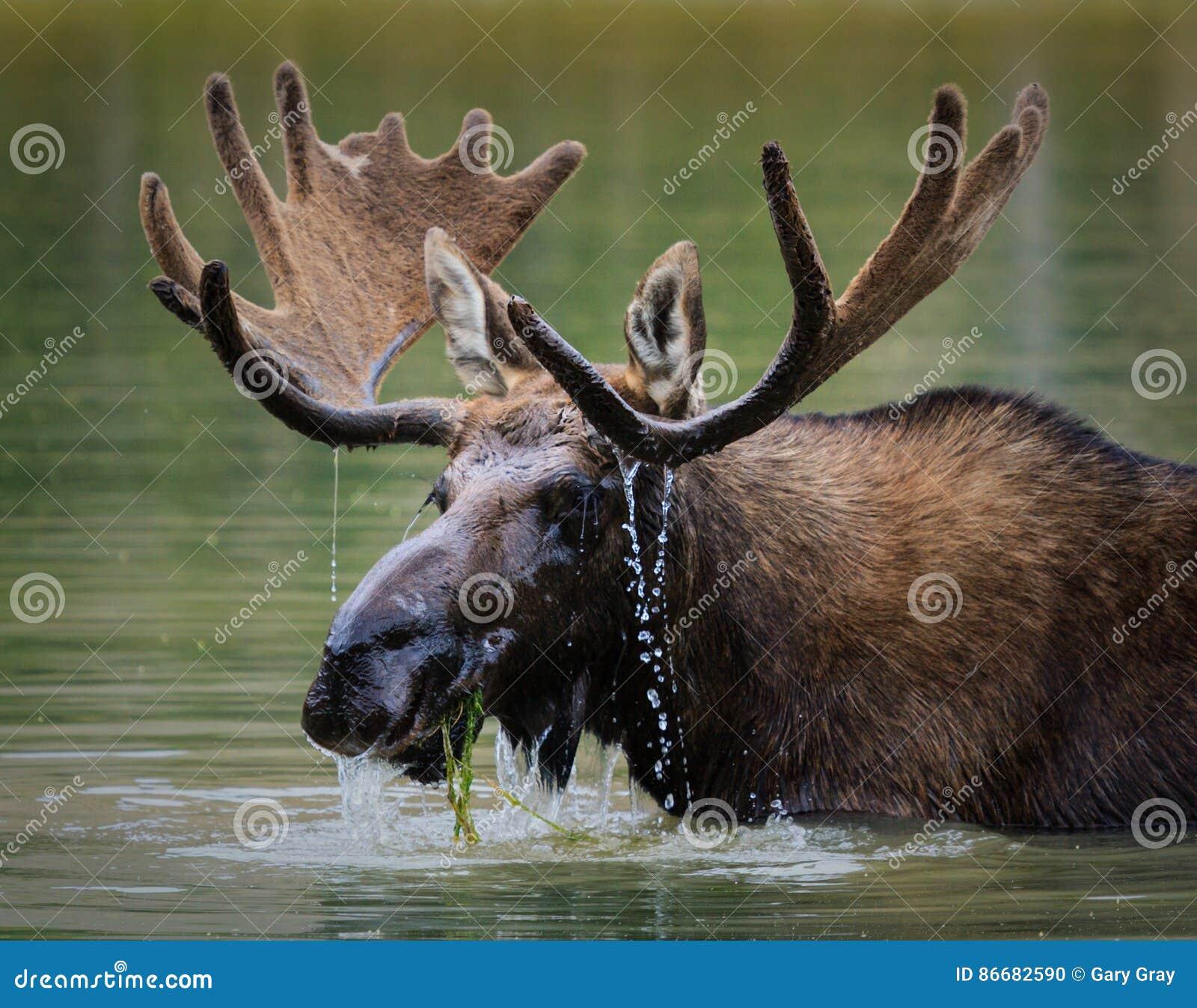 Shiras麋在Mountain湖