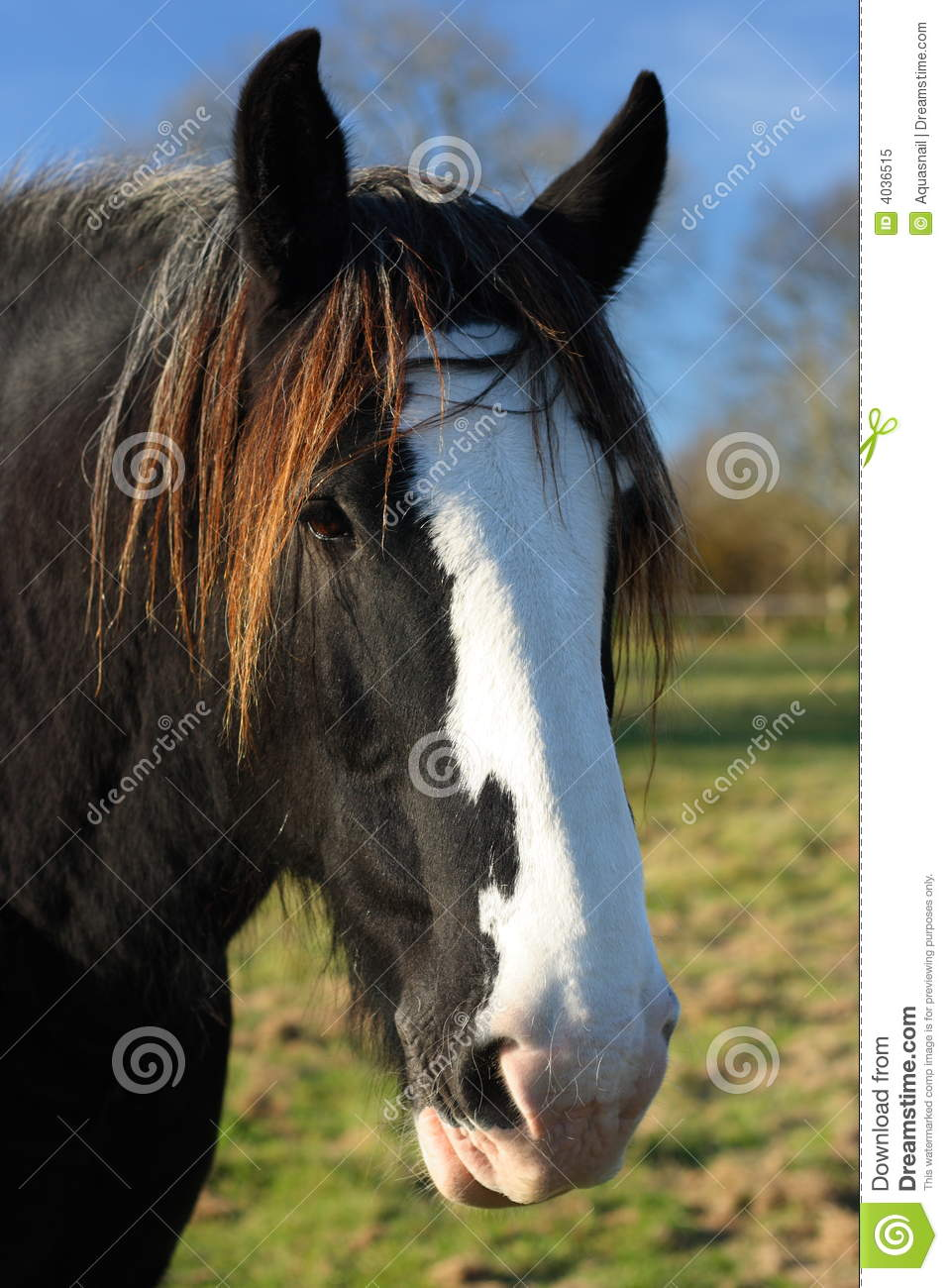 Shire Or Draft Horses Head Stock Image Image Of Open Outdoors 4036515