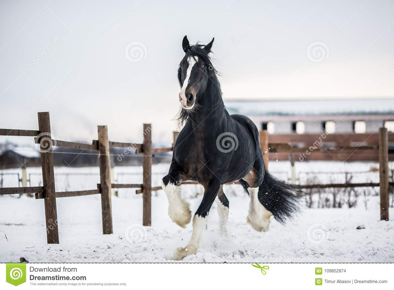 Shire Horse Runs Around The Snow Covered Field Stock Photo Image Of Winter Wild 109852874
