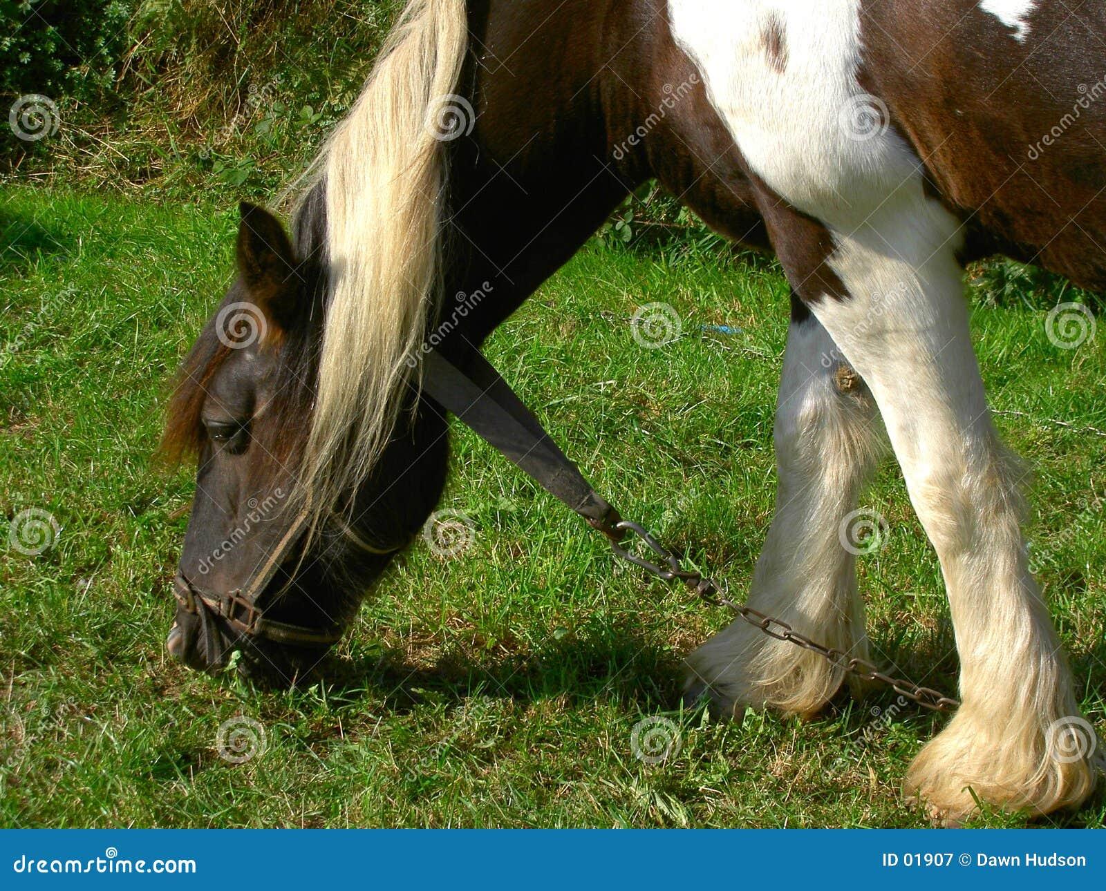 Shire koń.