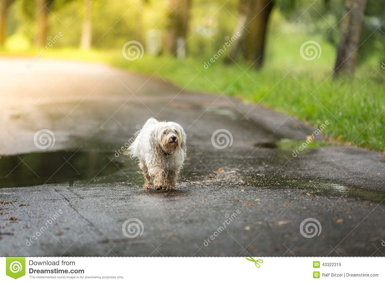 Small white dog walks in bad weather on the road.