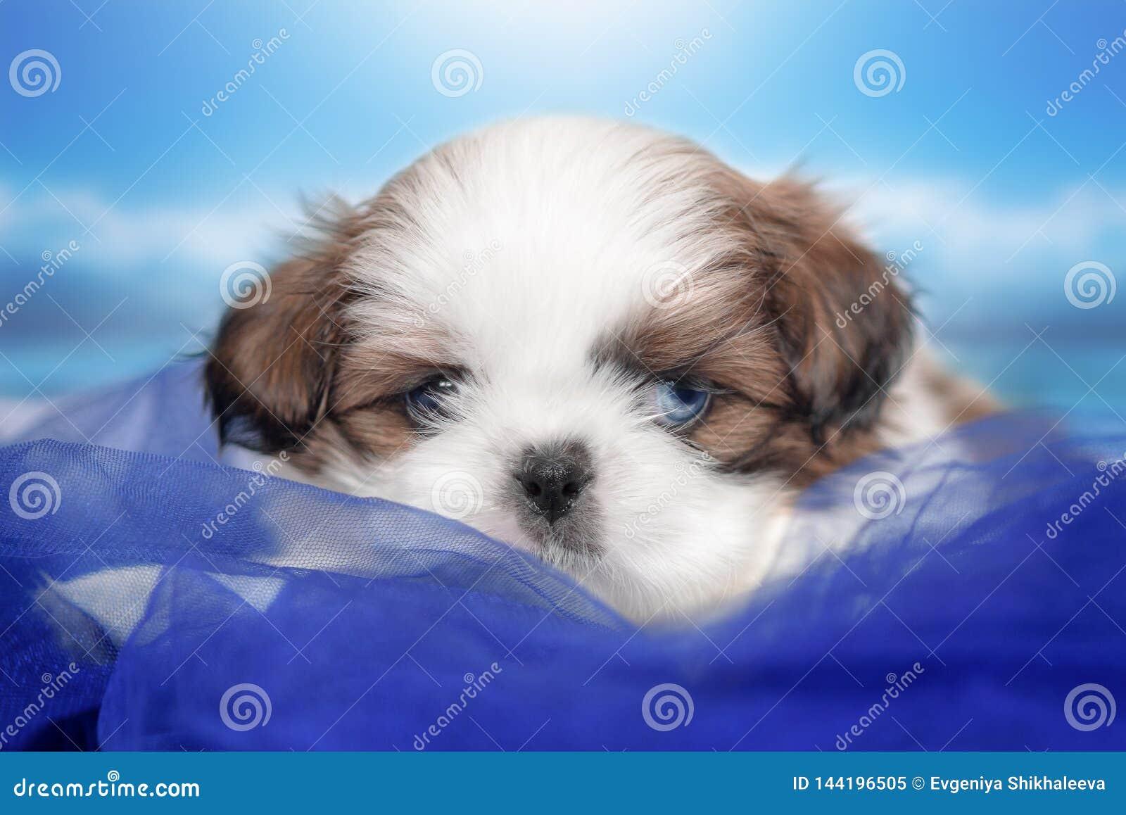 Shitsu van het puppyras met stammenhuwelijk, oogkleur is verschillend Één blauw, één bruin