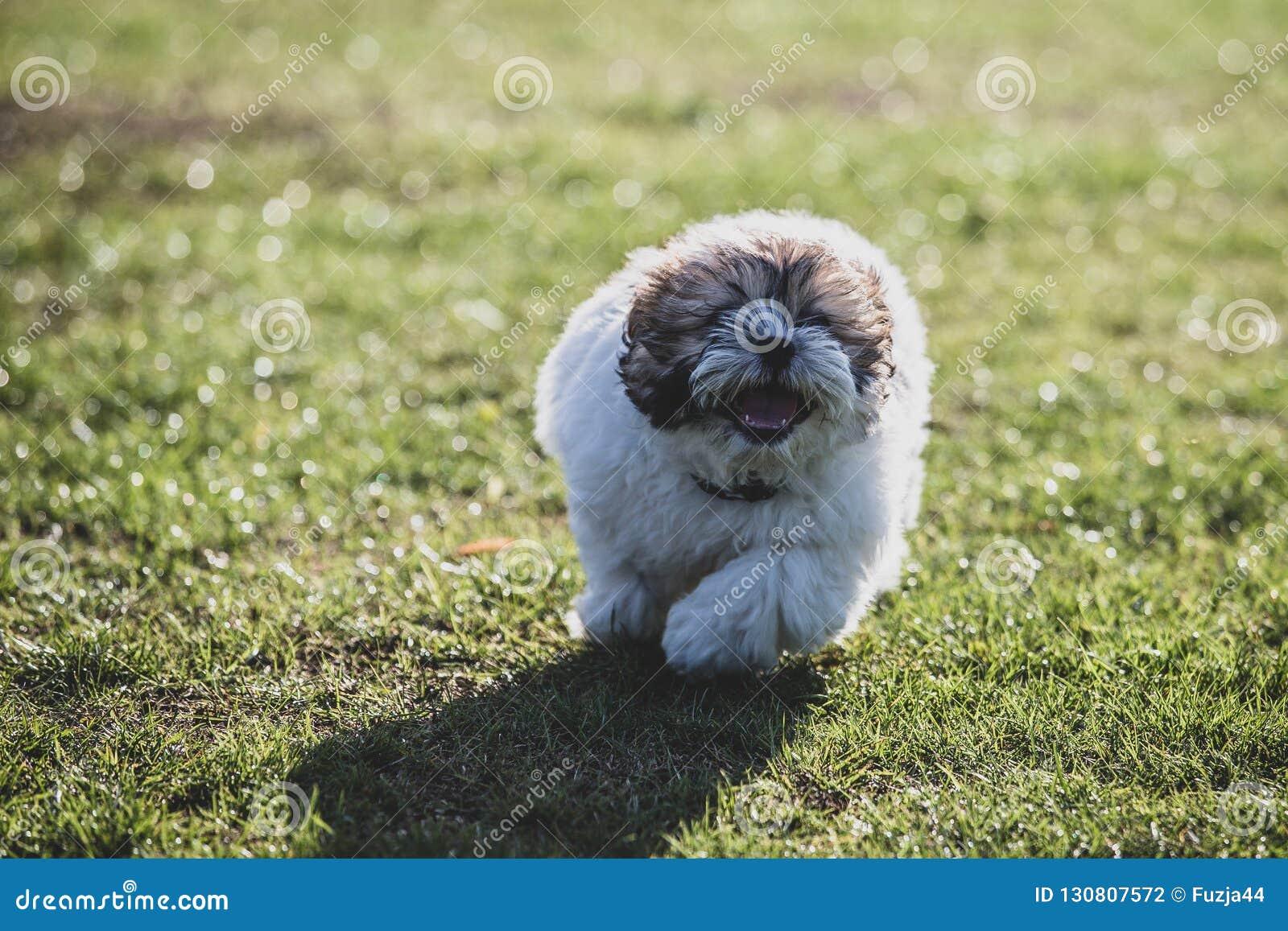 Shitzu puppy running in the park