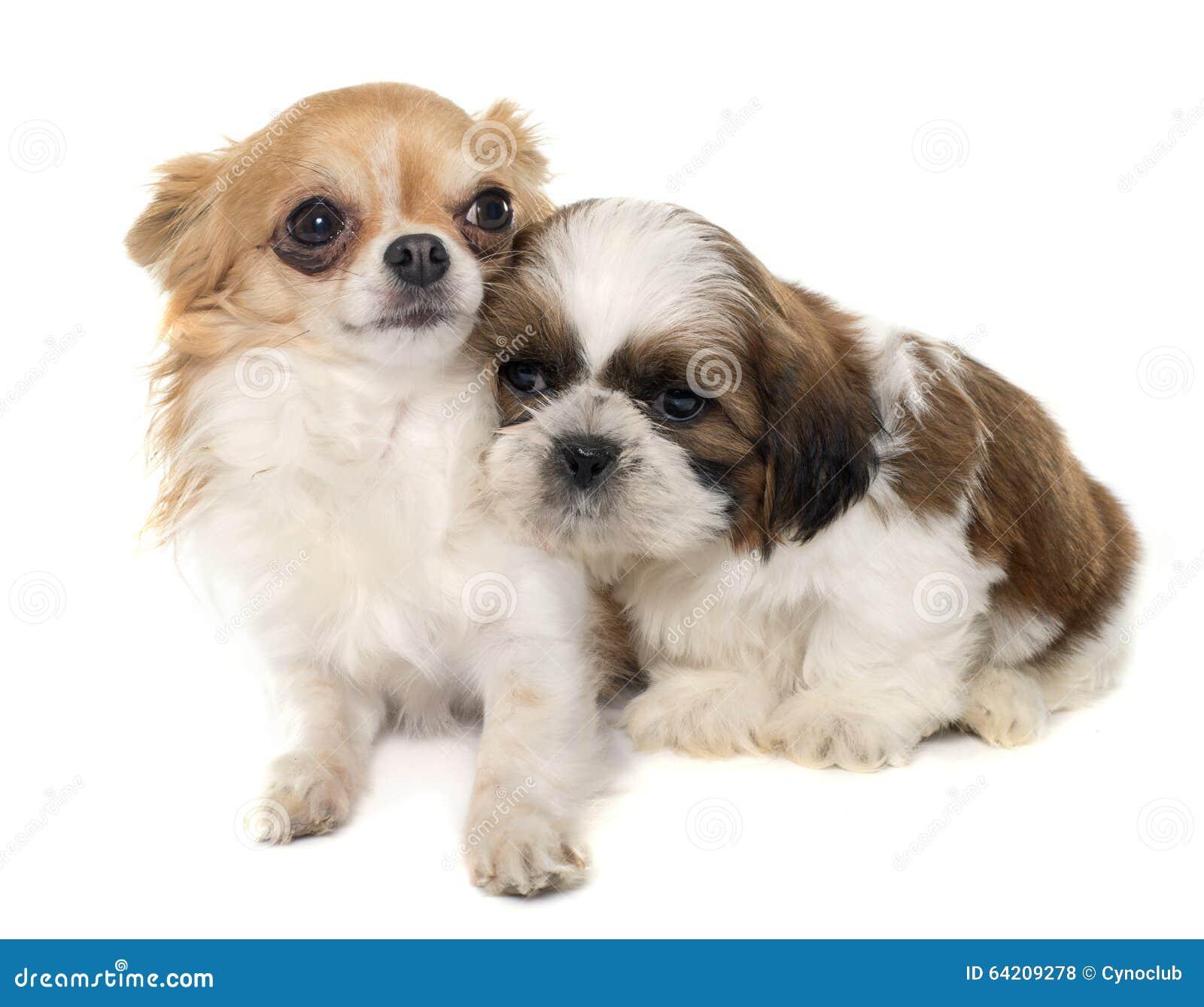 Shitzu y chihuahua jovenes del perrito