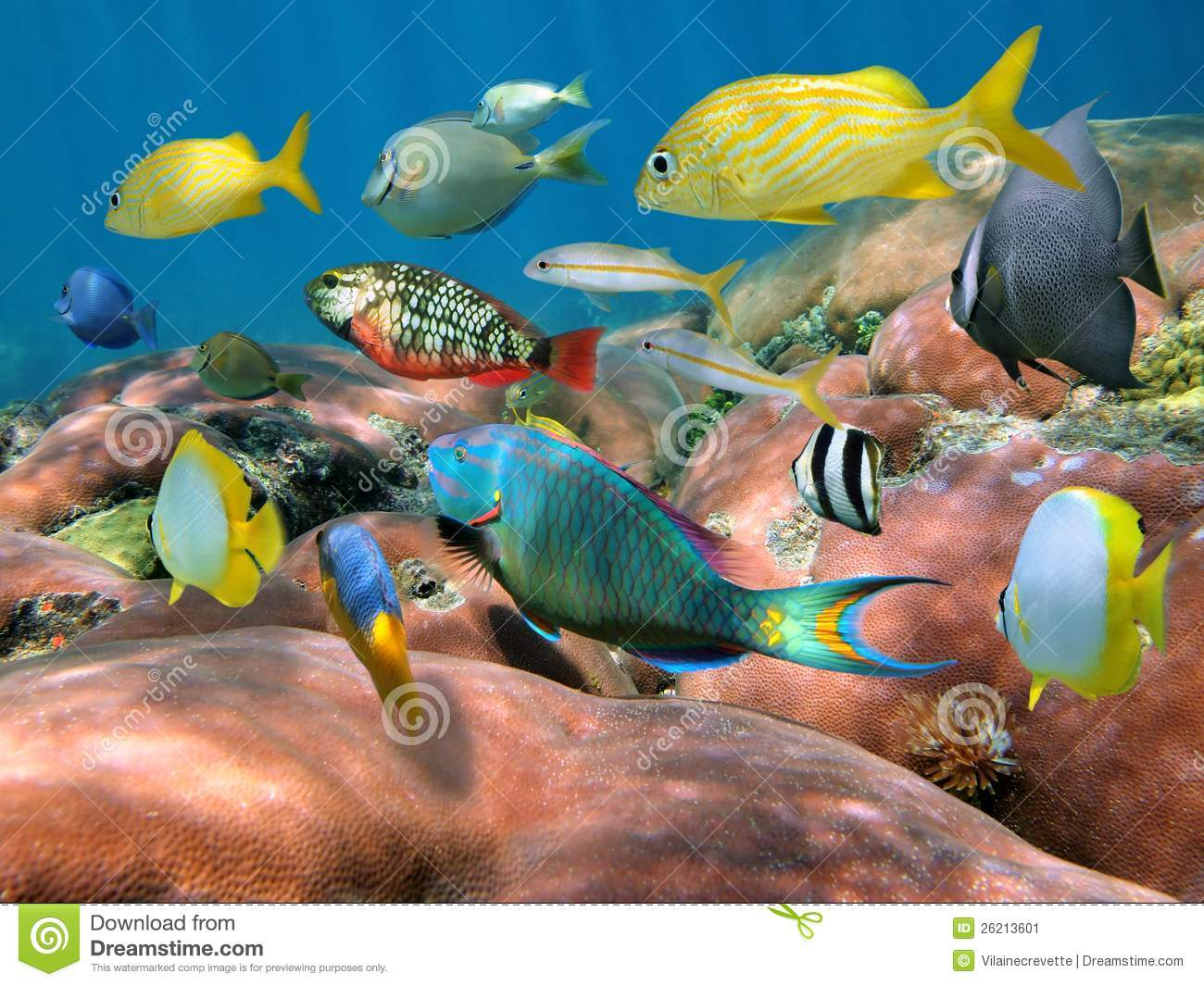 Shoal of fish over a coral reef stock image image 26213601 for Caribbean reef fish