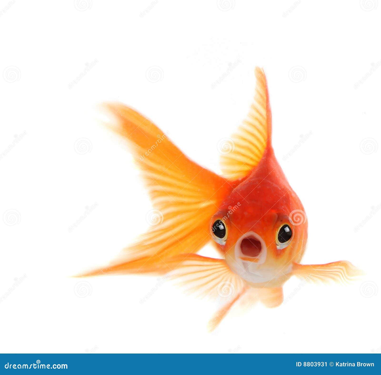 ... Orange Goldfish Shocked goldfish isolated on Black And Orange Comet