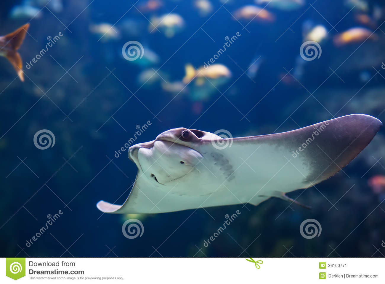 Shockfish stock image image 36100771 for Sea ray fish