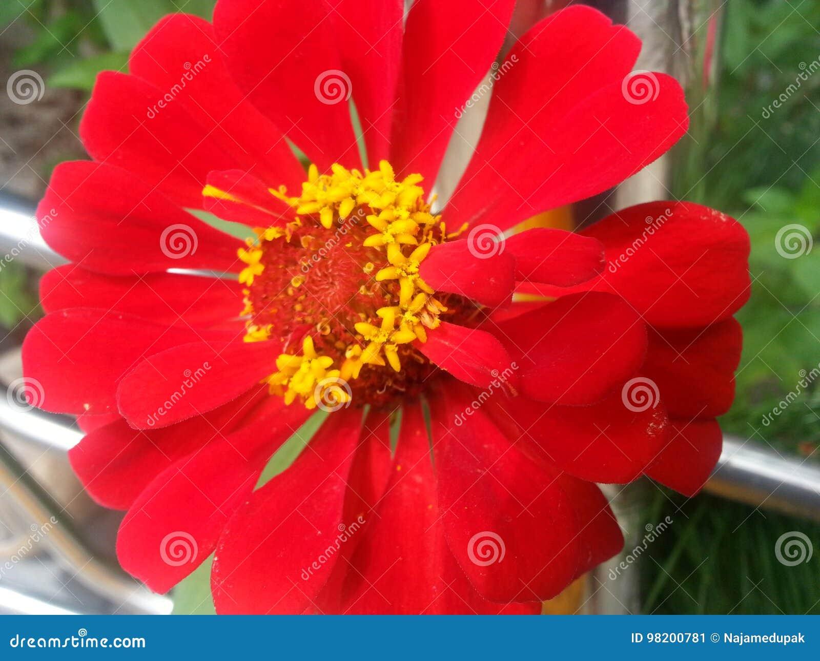 Shocking Red Flower Stock Image Image Of Beautiful Stamens 98200781