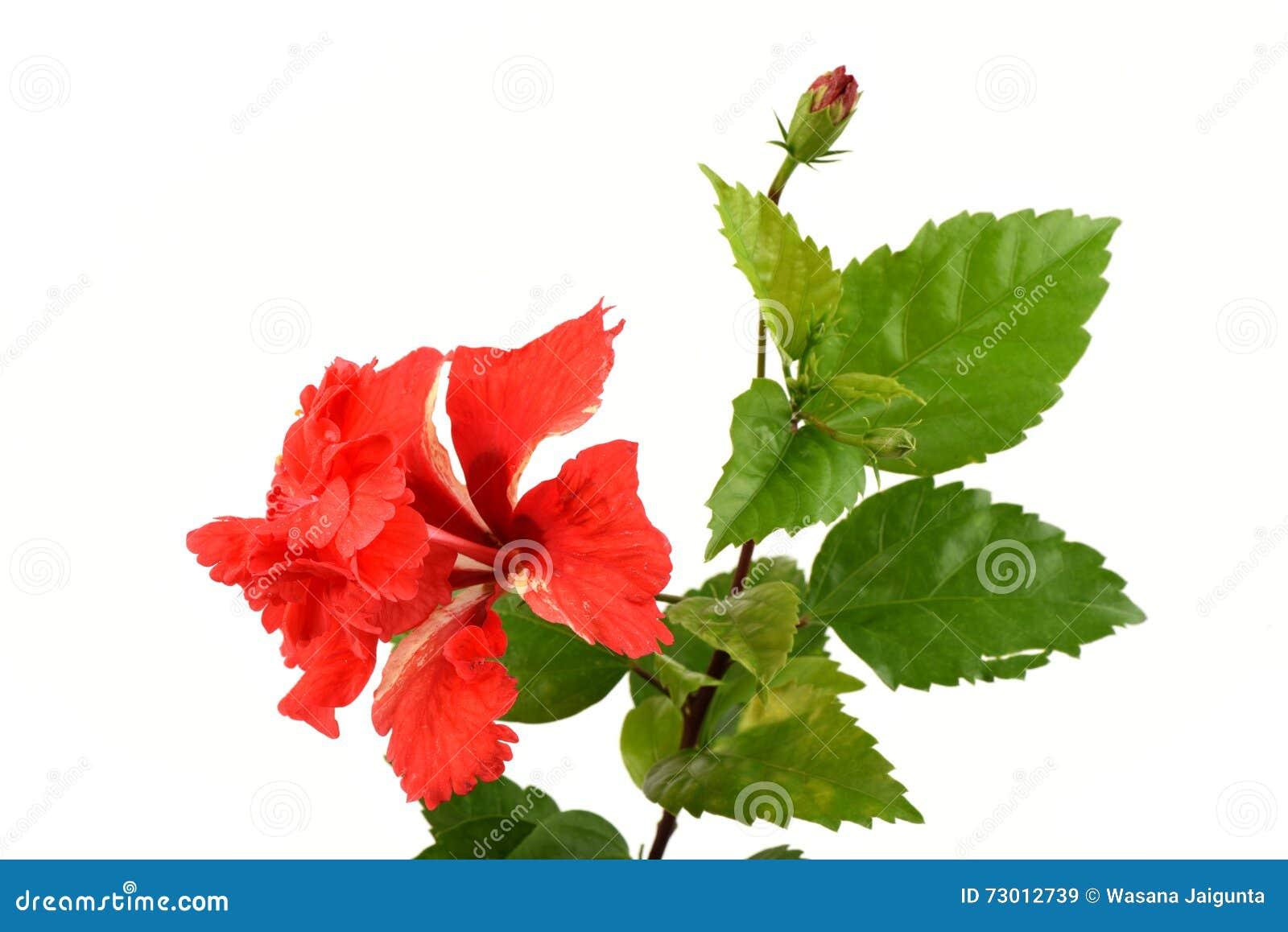 Shoe Flower Hibiscus Chinese Rose On White Background Stock Image