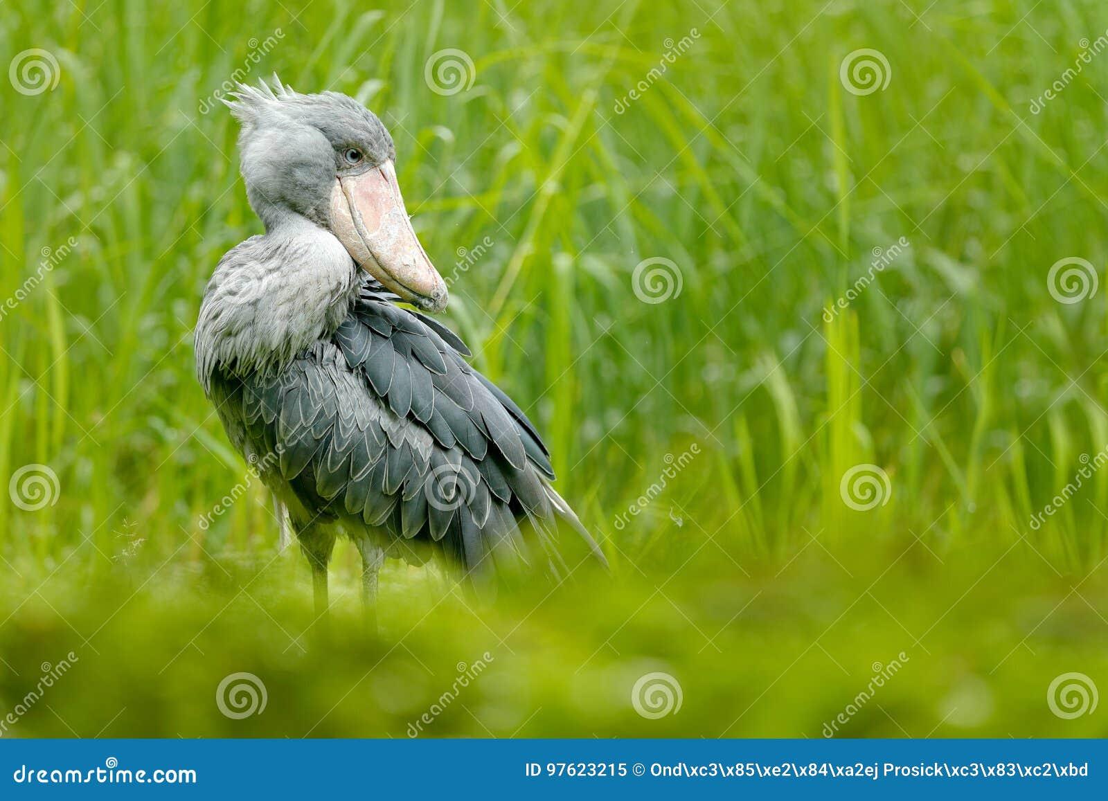 Shoebill, Balaeniceps rex, Porträt des großen Schnabelvogels, Uganda Szene der Detailwild lebenden tiere von Zentralafrika Selten
