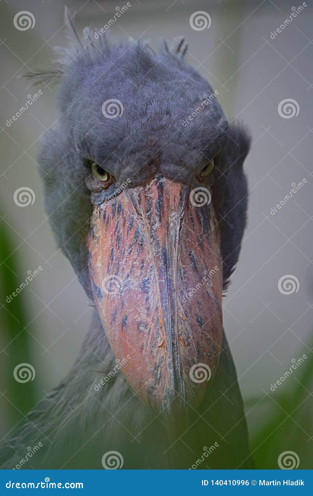 Shoebill, bird, portrait, eye, headbird