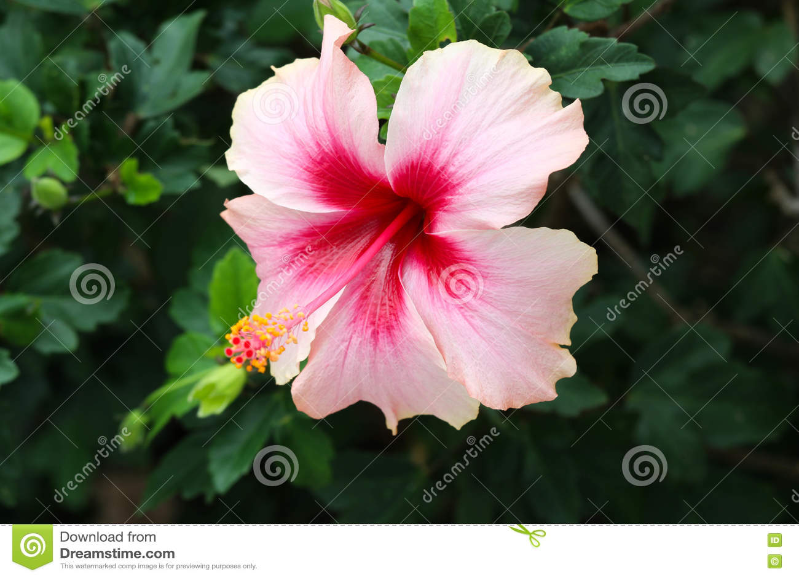Shoeflowers In The Garden Stock Image Image Of Hawaiian 81985945
