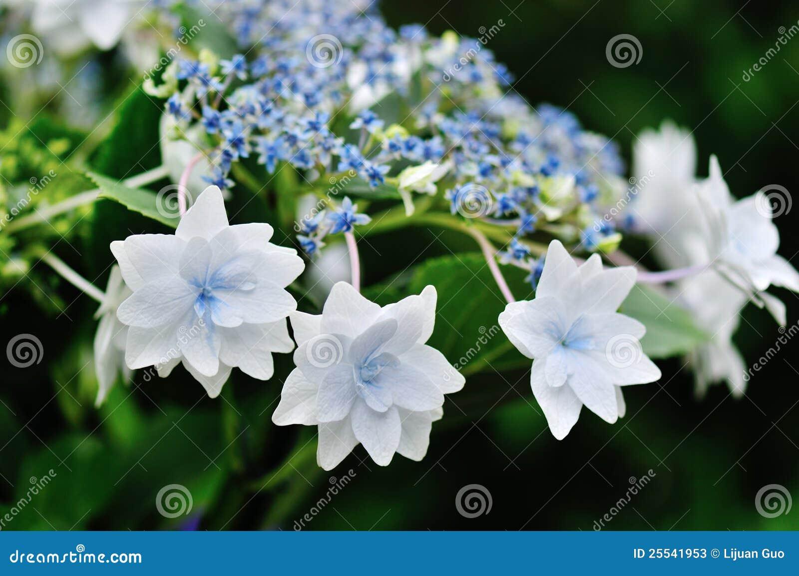 Shooting Star Hydrangea Stock Image Image Of Spring