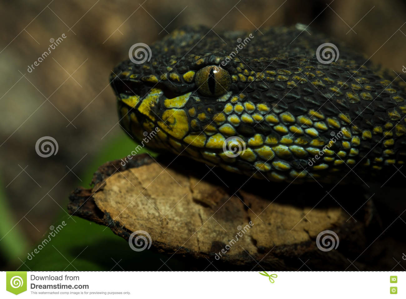 Shore pit viper snake stock image  Image of scary, black