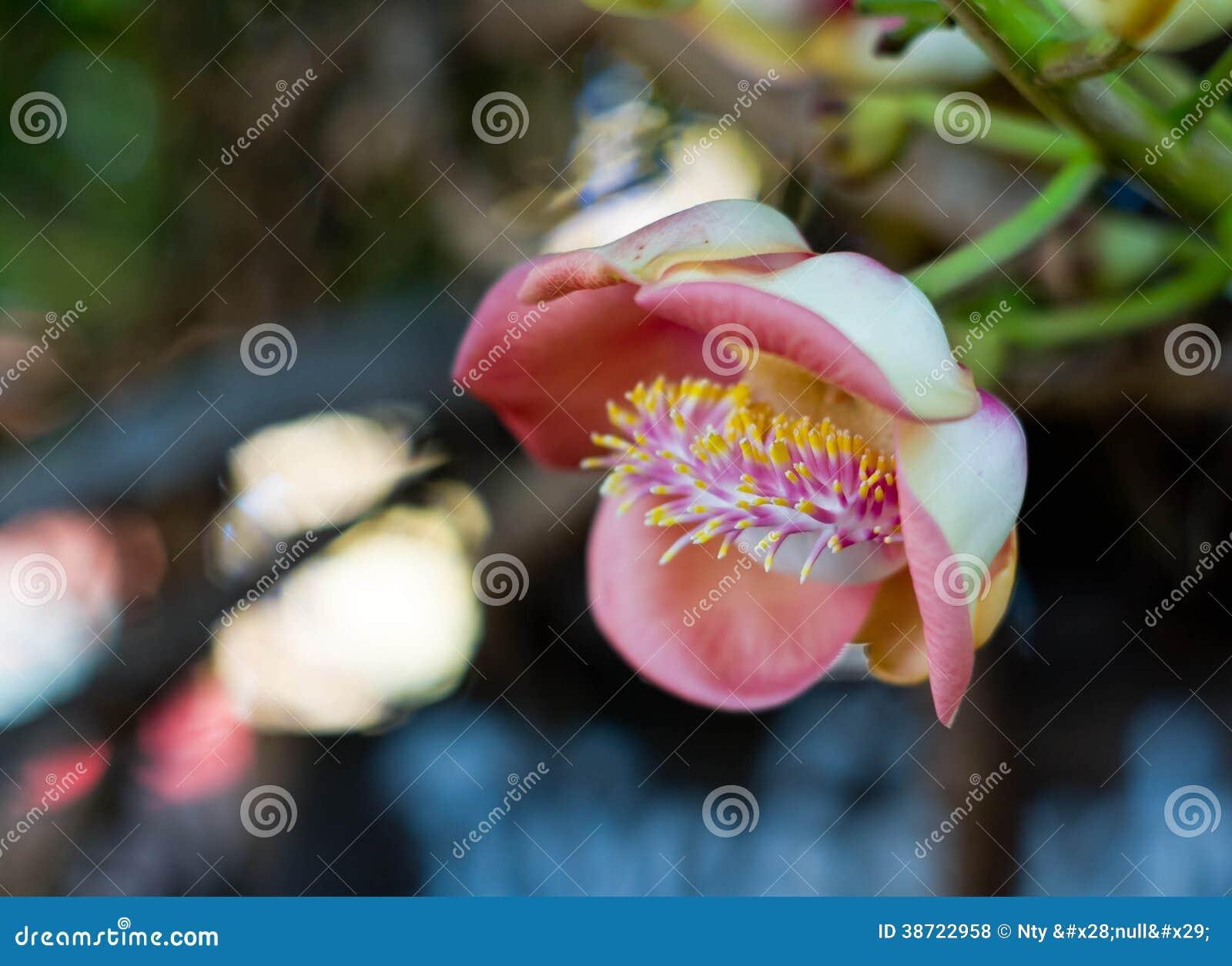 Shorea Robusta Stock Photo Image Of Perennial Colorful 38722958