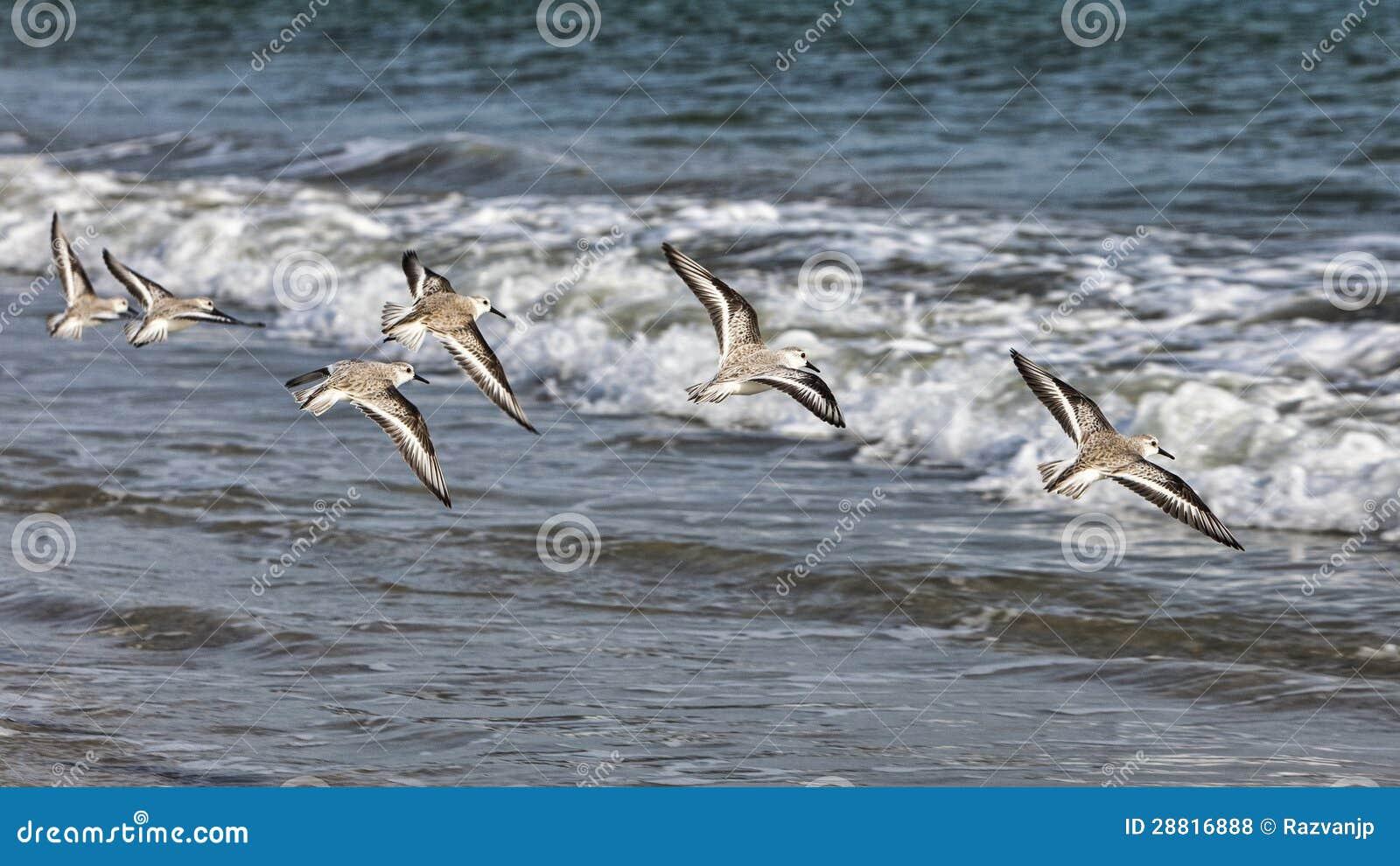 Shorebirds het Vliegen