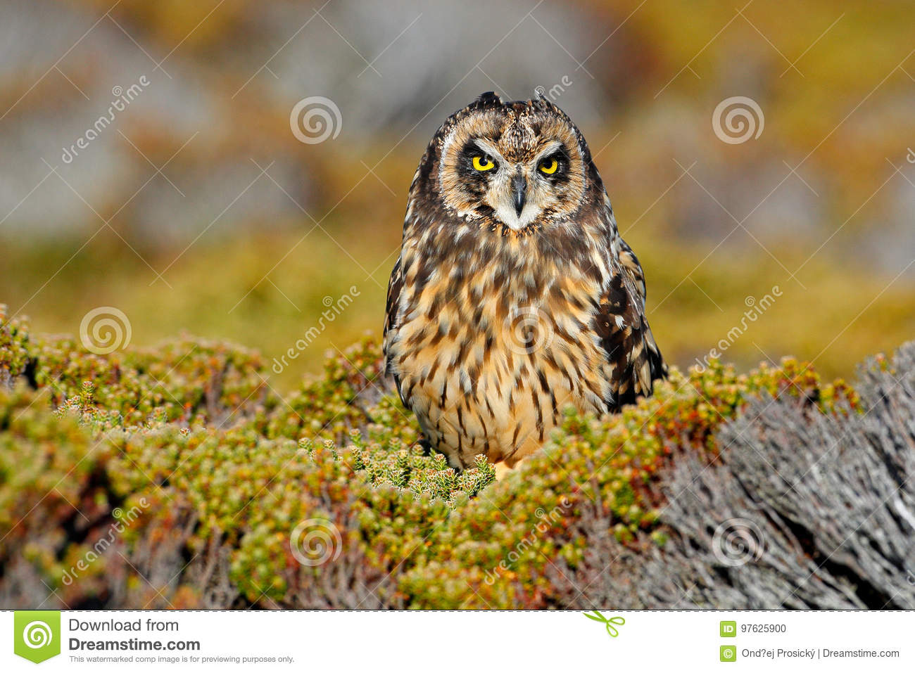Short-eared Owl, Asio flammeus sanfordi, rare endemic bird from Sea Lion Island, Fakland Islands, Owl in the nature habitat. Bird