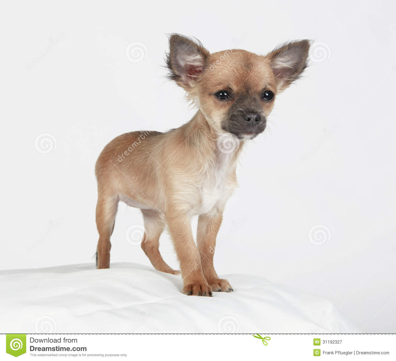 Short Hair Chihuahua Standing Tall Stock Image Image