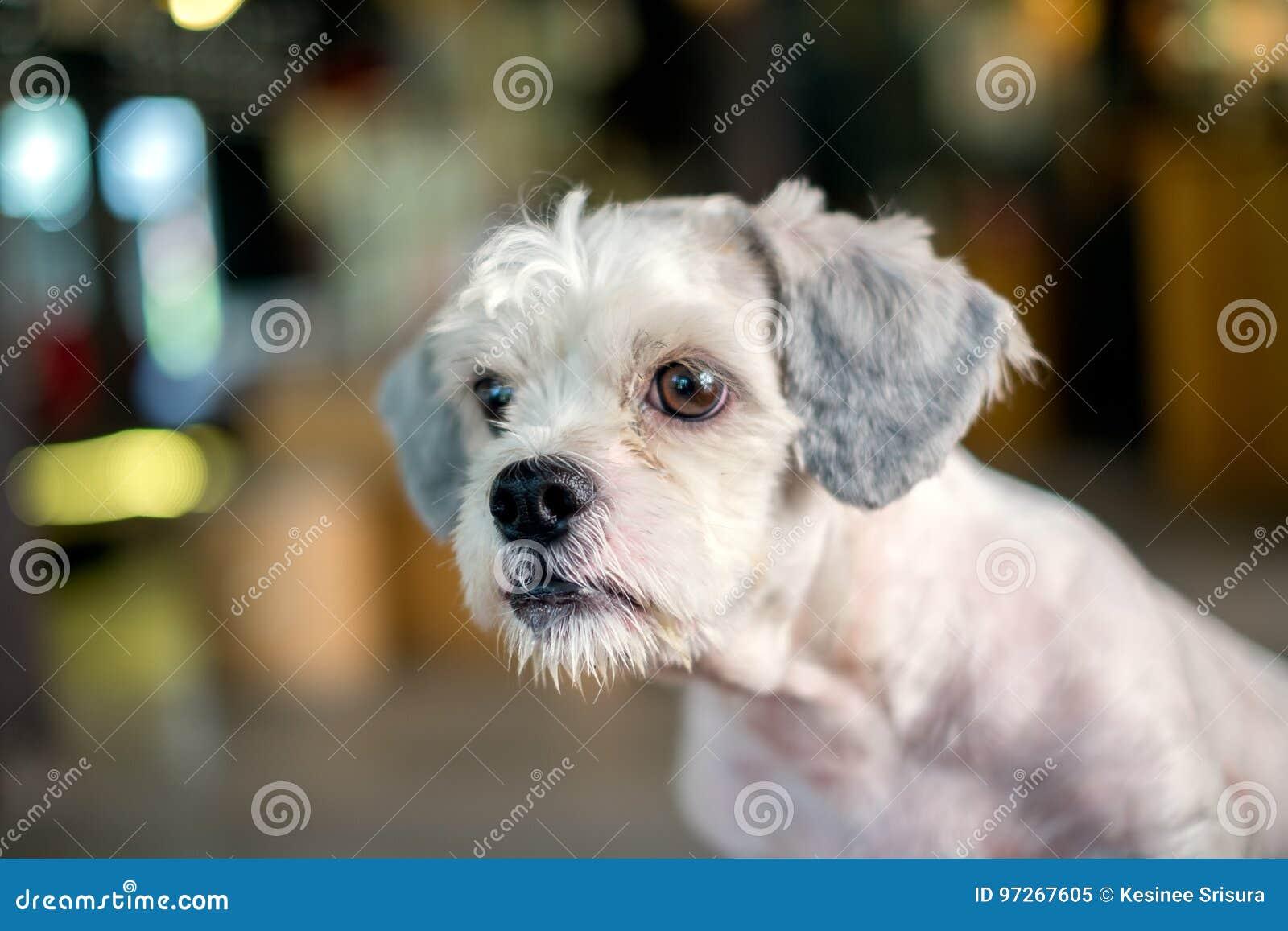 Short Hair White Shih Tzu Dog Gaze At Something Stock Image Image