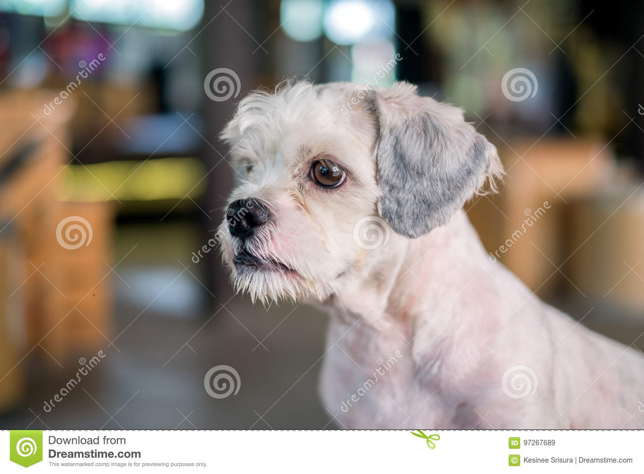 Short Hair White Shih Tzu Dog Gaze At Something Stock Image Image