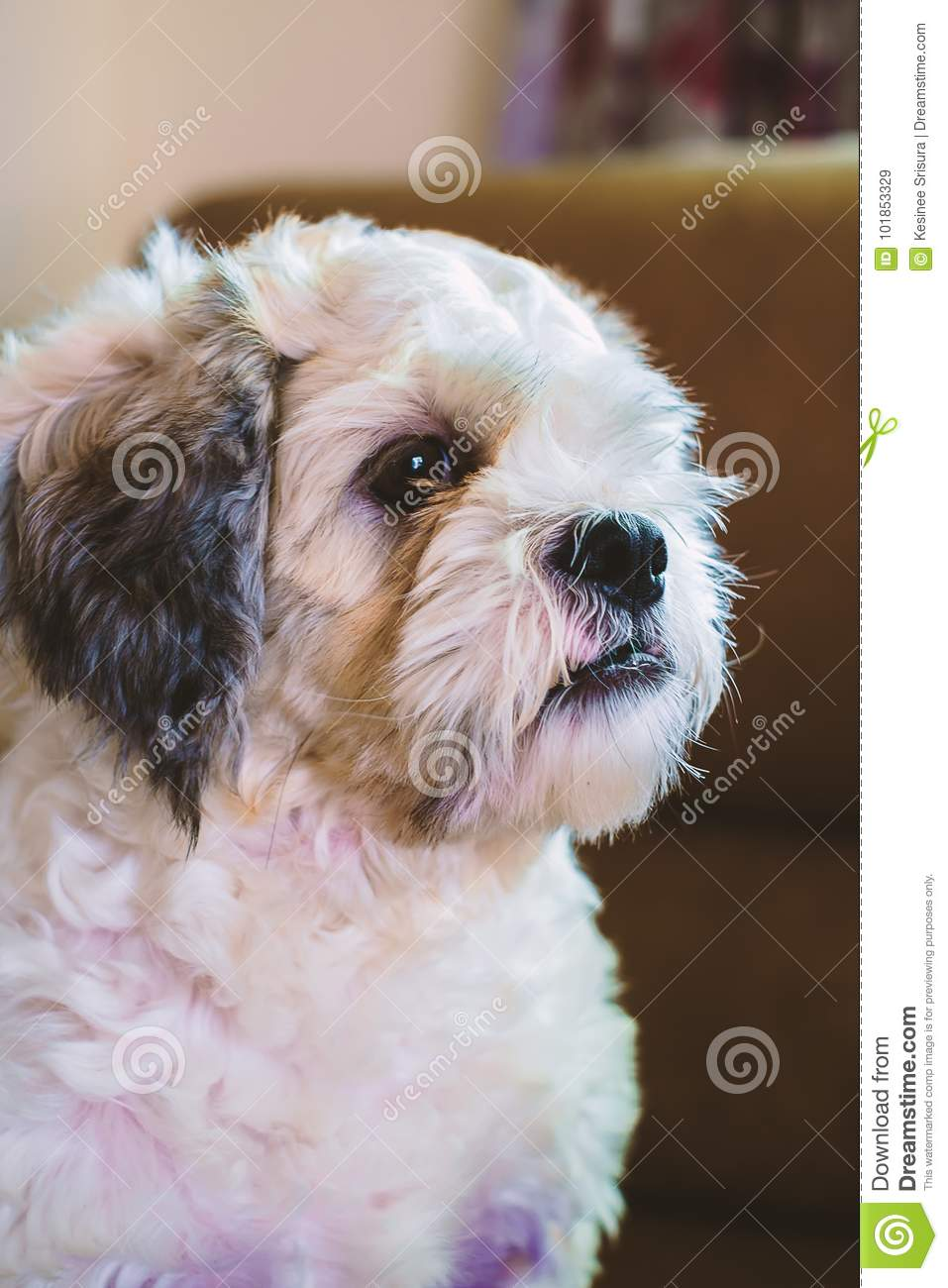 Short Hair White Shih Tzu Dog Stock Image Image Of Mammal Breed