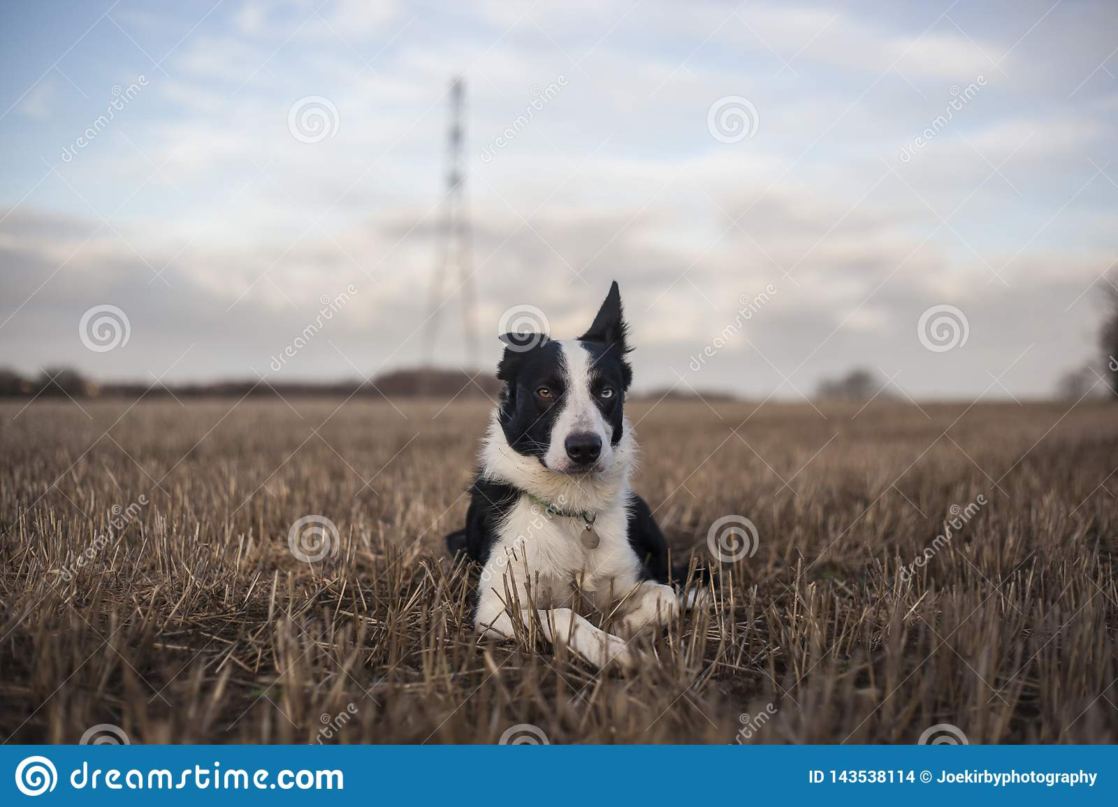 Short Haired Border Collie Stock Photo Image Of Energy 143538114