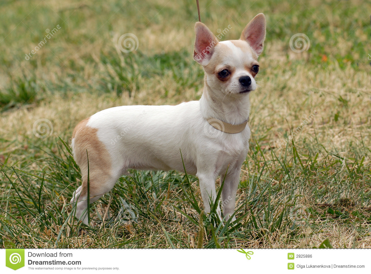 Short-Haired Chihuahua Royalty Free Stock Image - Image: 2825886