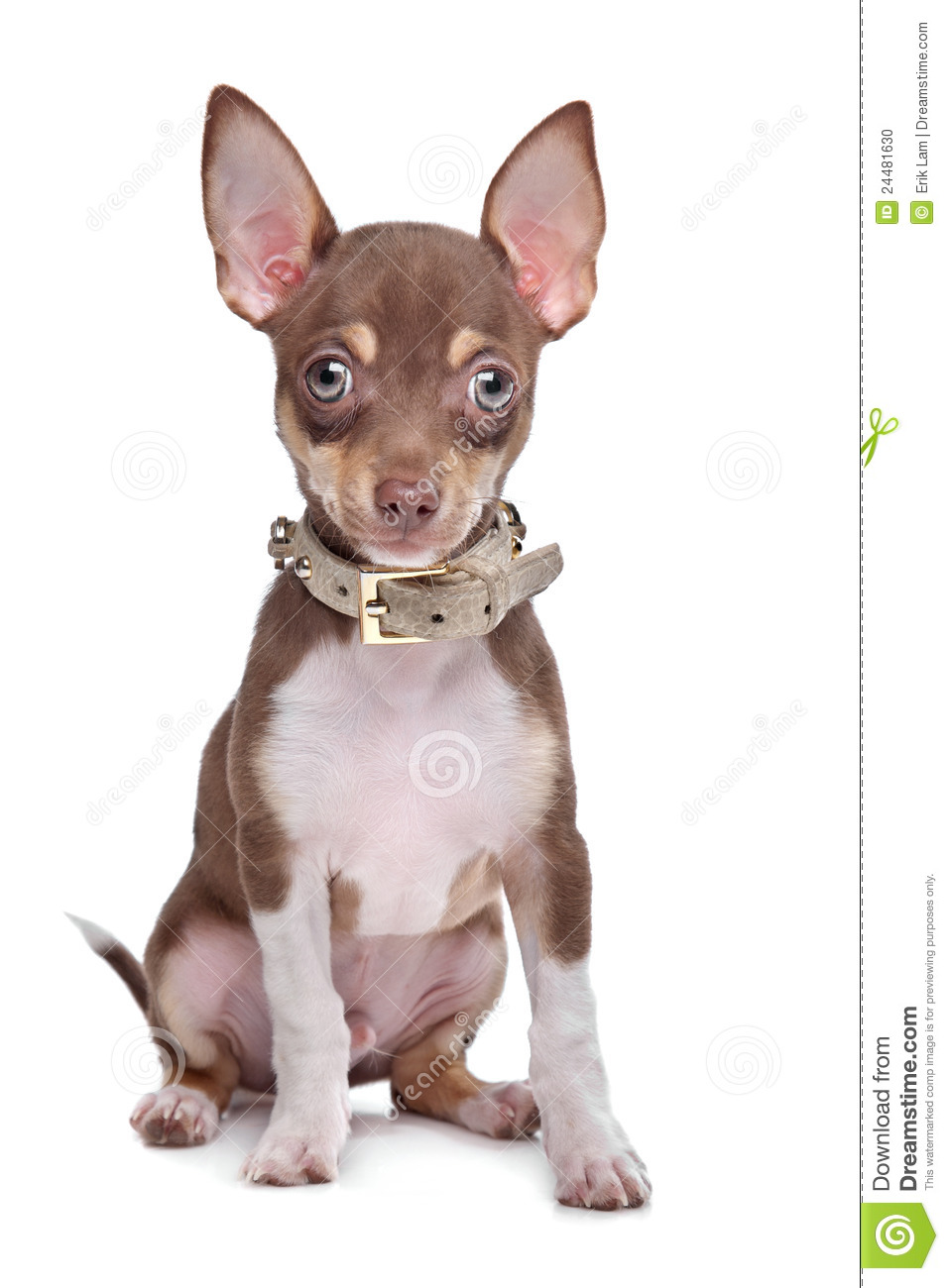 short coat chihuahua short haired chihuahua puppy stock photo image 24481630 9953