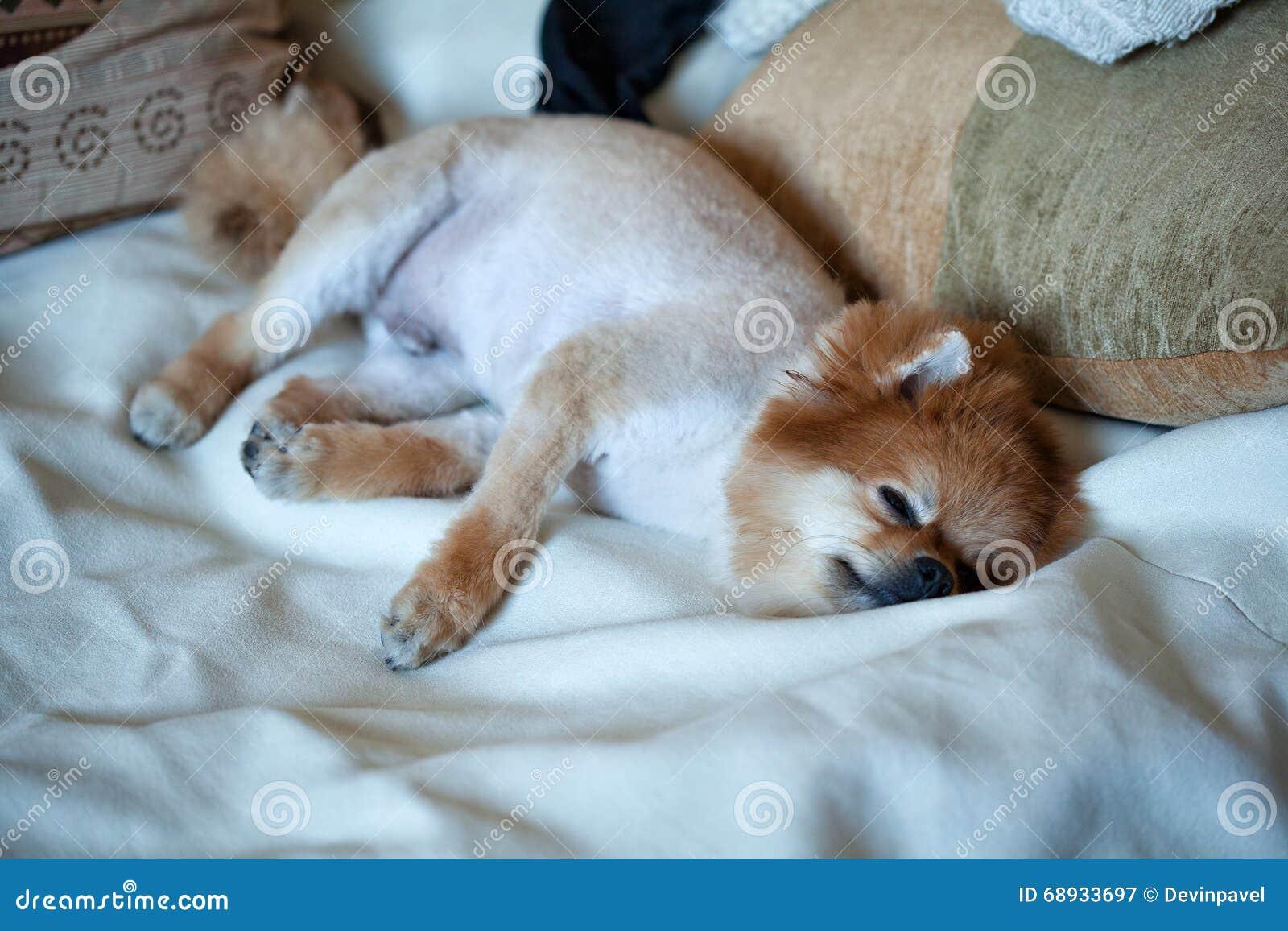 Short-haired Dog Breeds Spitz Stock Image - Image of domestic, puppy ...
