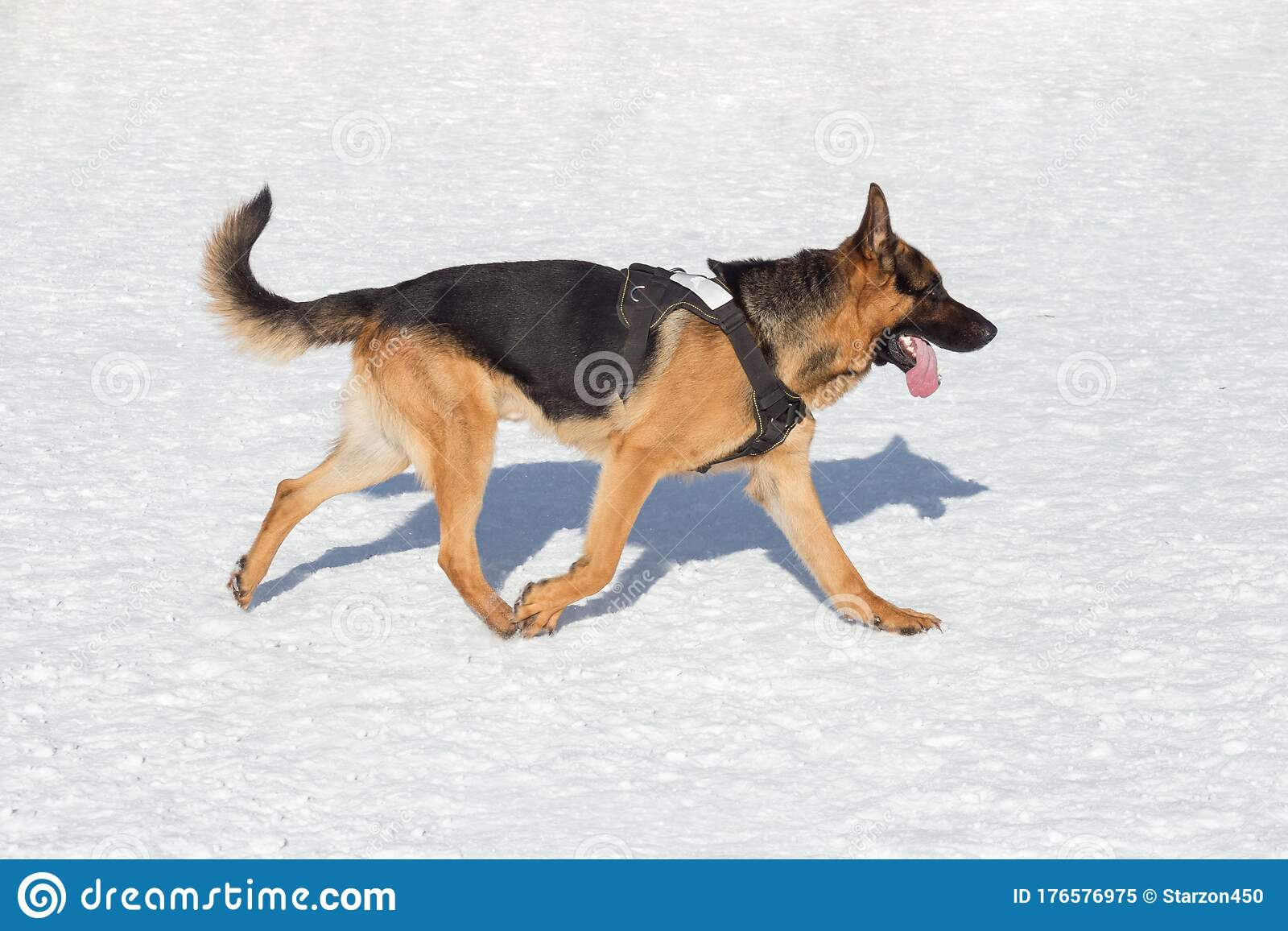 Short Haired German Shepherd Dog Is Running On A White Snow In The Winter Park Pet Animals Stock Image Image Of Jaws German 176576975