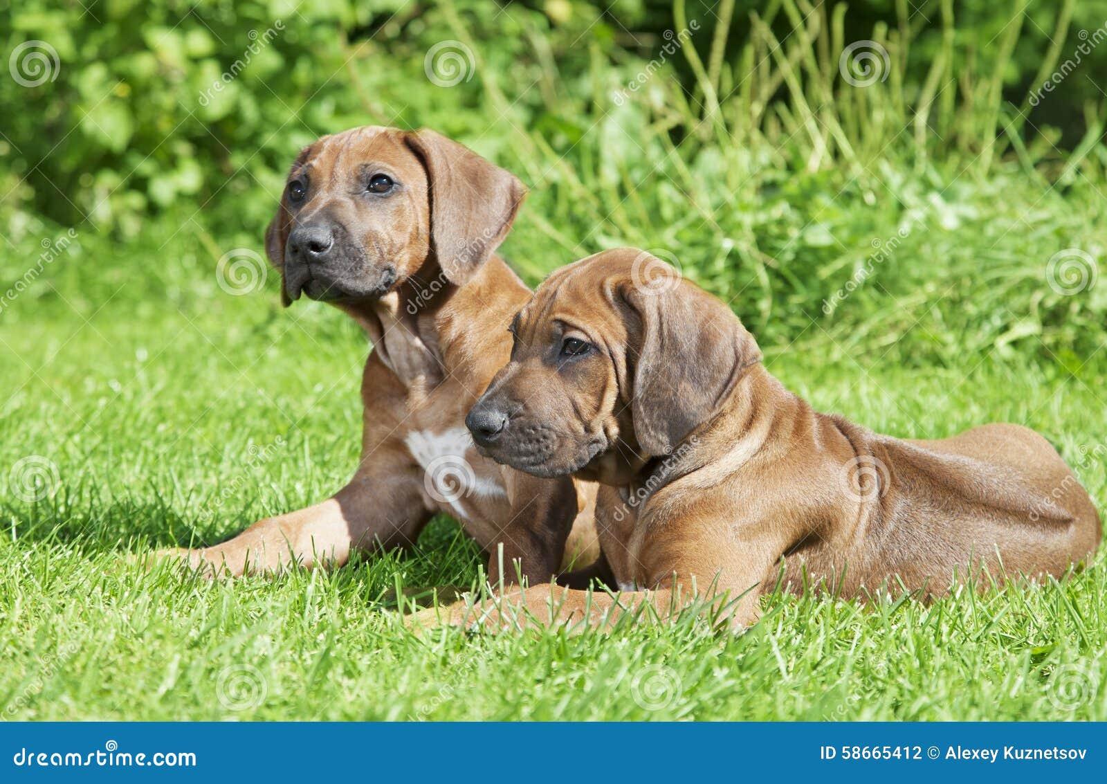 Short haired Rhodesian Ridgeback puppies outdoors