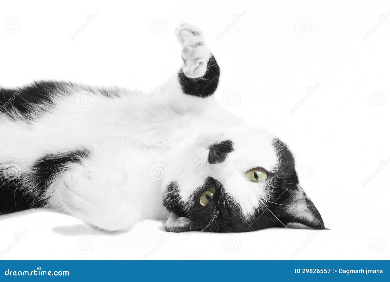 Gato preto e branco no estúdio