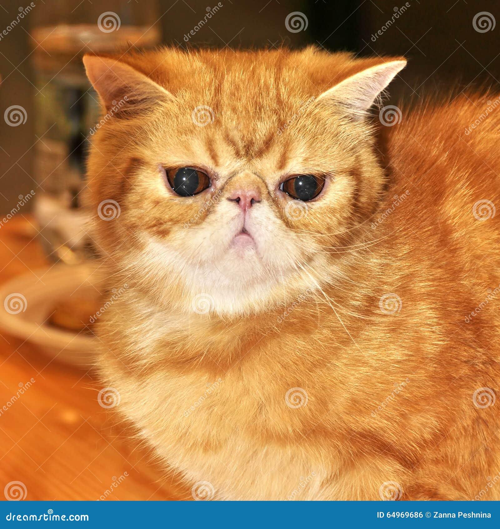 Shorthair exotique de chat rouge