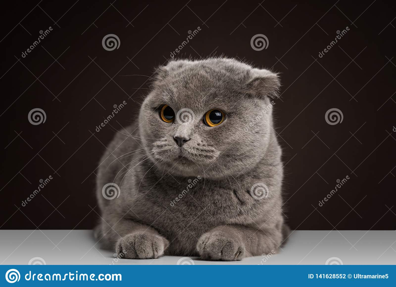 British Shorthair And Scottish Fold Mix 81021 Nama Untuk Kucing Comel Lucu Dan Unik