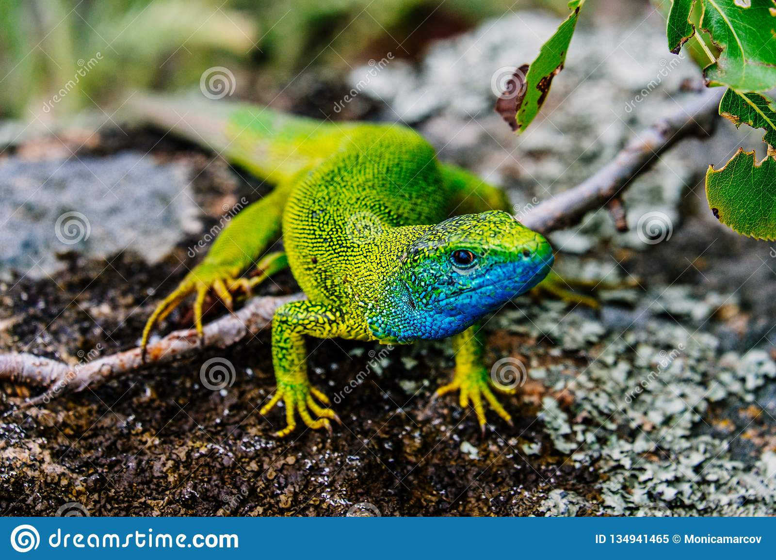 European green lizard Guster caught on a spring day in the mountains