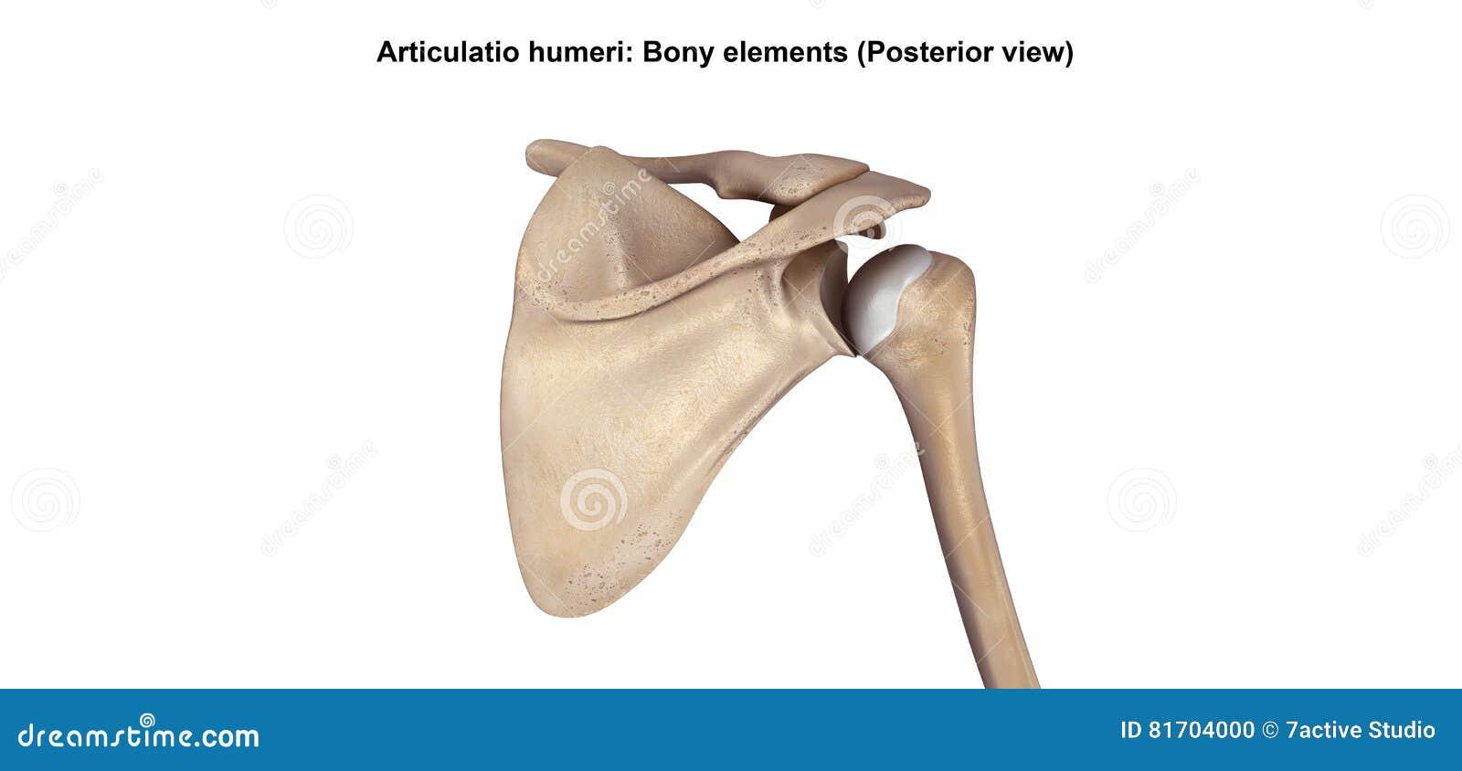Shoulder Joints Stock Illustration Illustration Of Bone 81704000