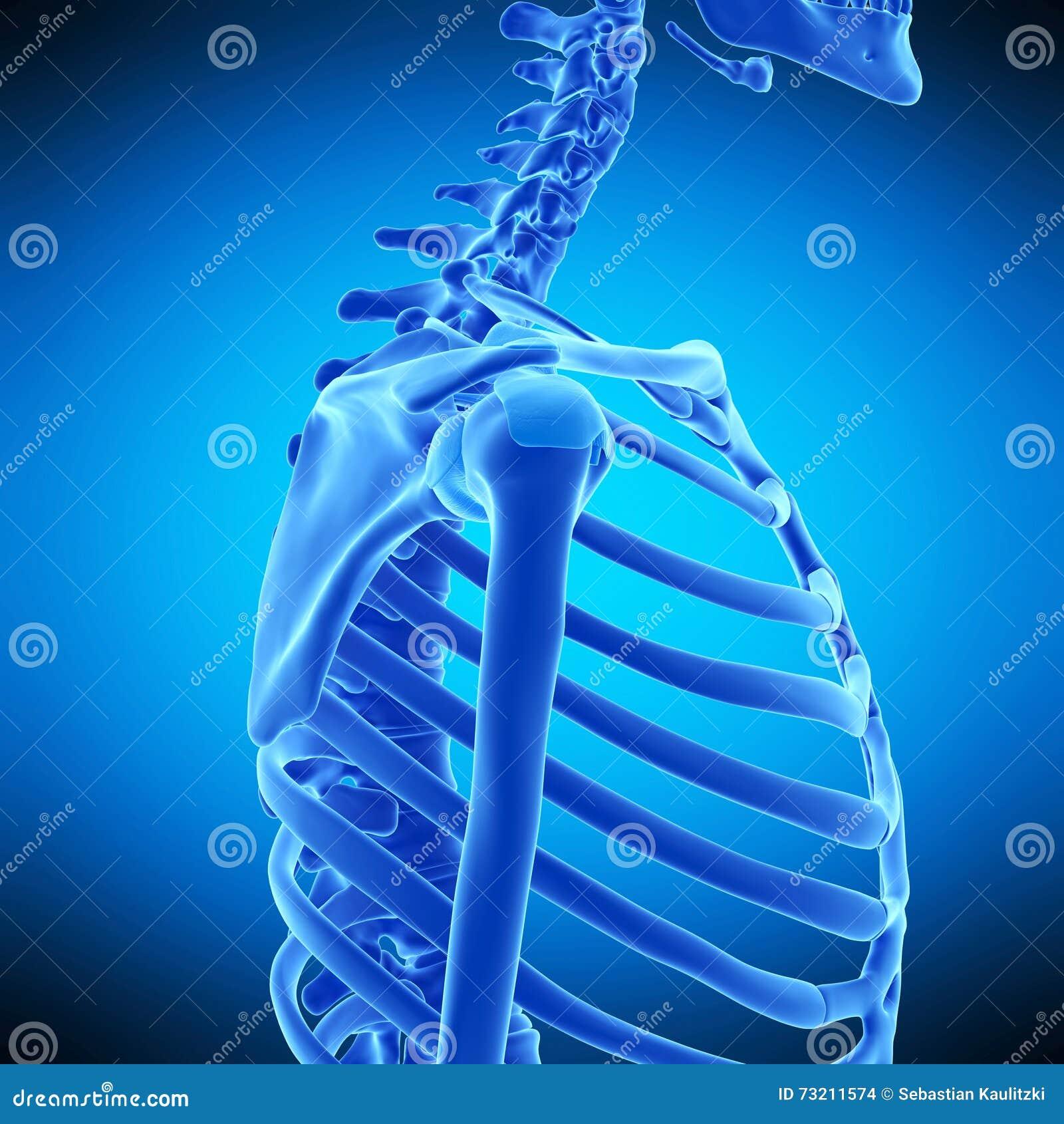 The Shoulder Ligaments Stock Illustration Illustration Of Human