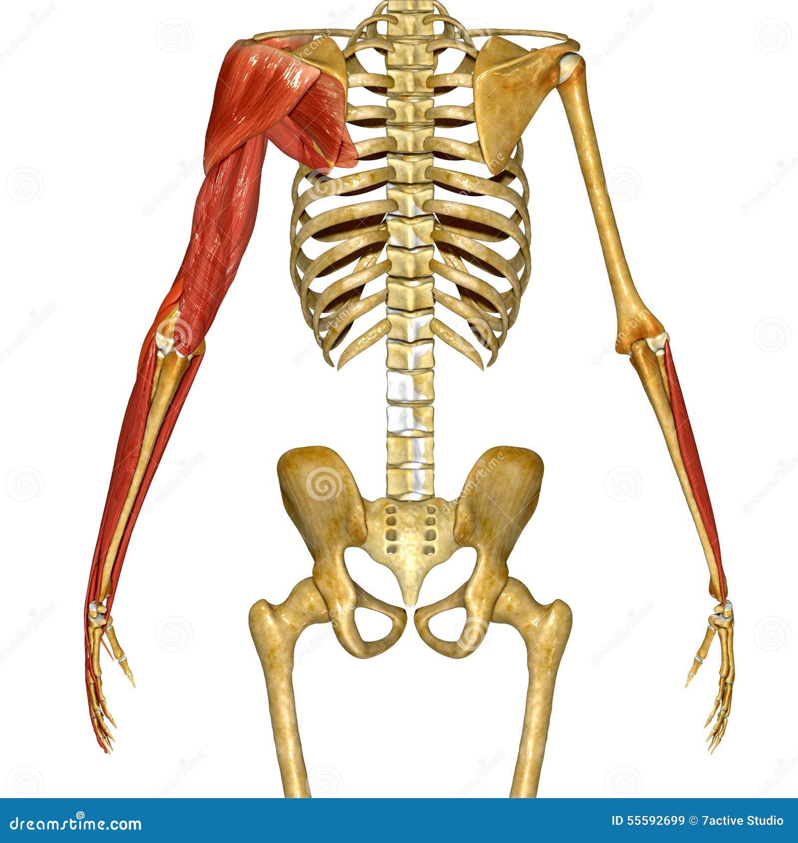 Shoulder Muscles stock illustration. Illustration of body - 55592699